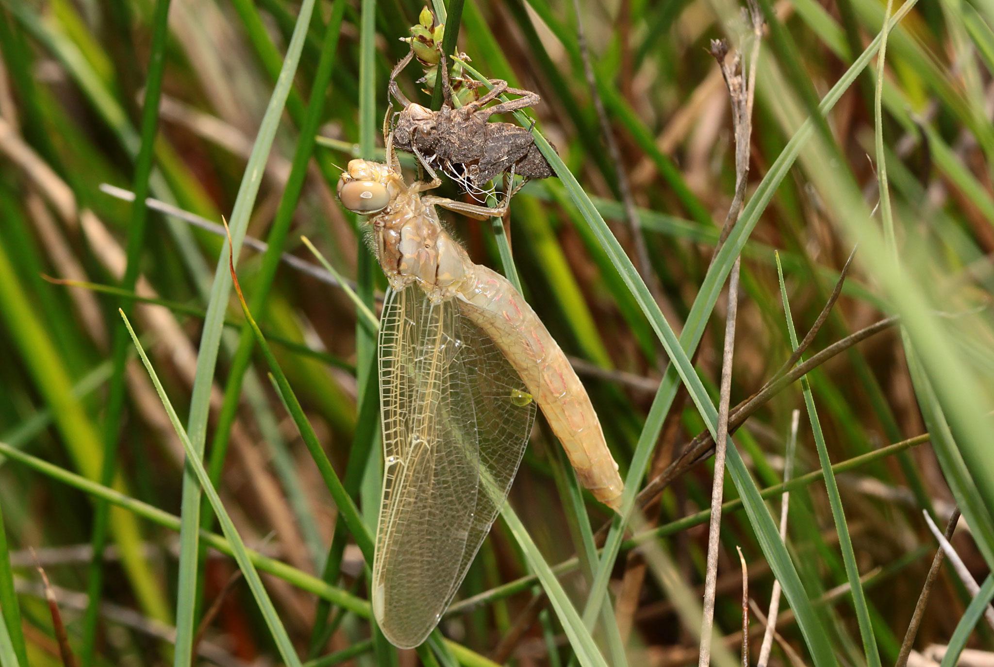 Ein Weibchen des Südlichen Blaupfeils, Orthetrum brunneum, während der Emergenz (2).