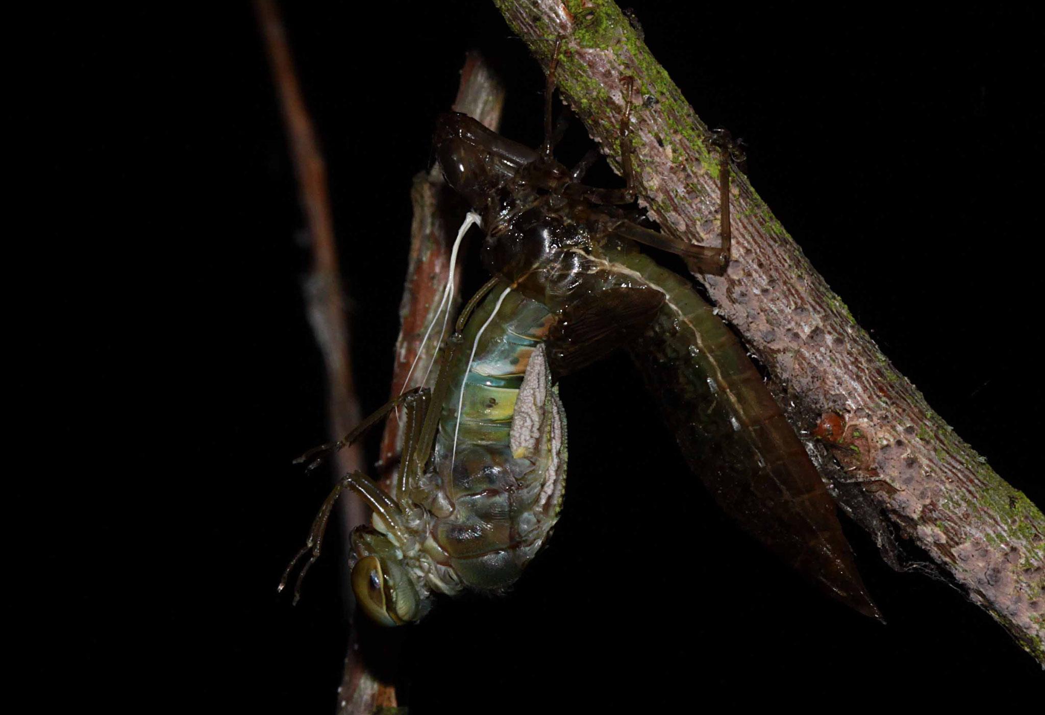 23.12h: Kopf und Brustabschnitt der jungen Libellen liegen bereits frei.