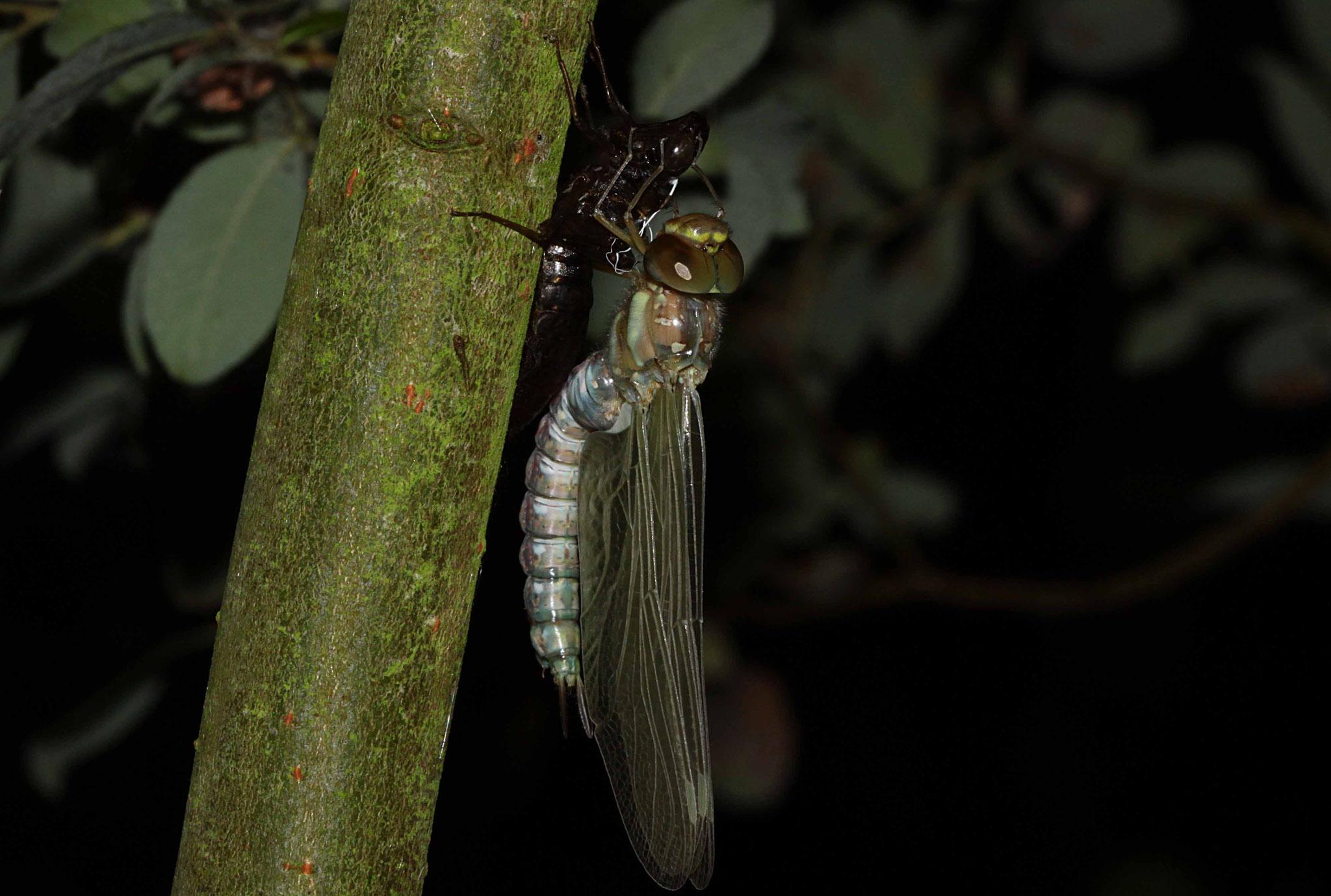 23.39: Nun werden Flügel und Hinterleib mit Blutflüssigkeit aufgepumpt.