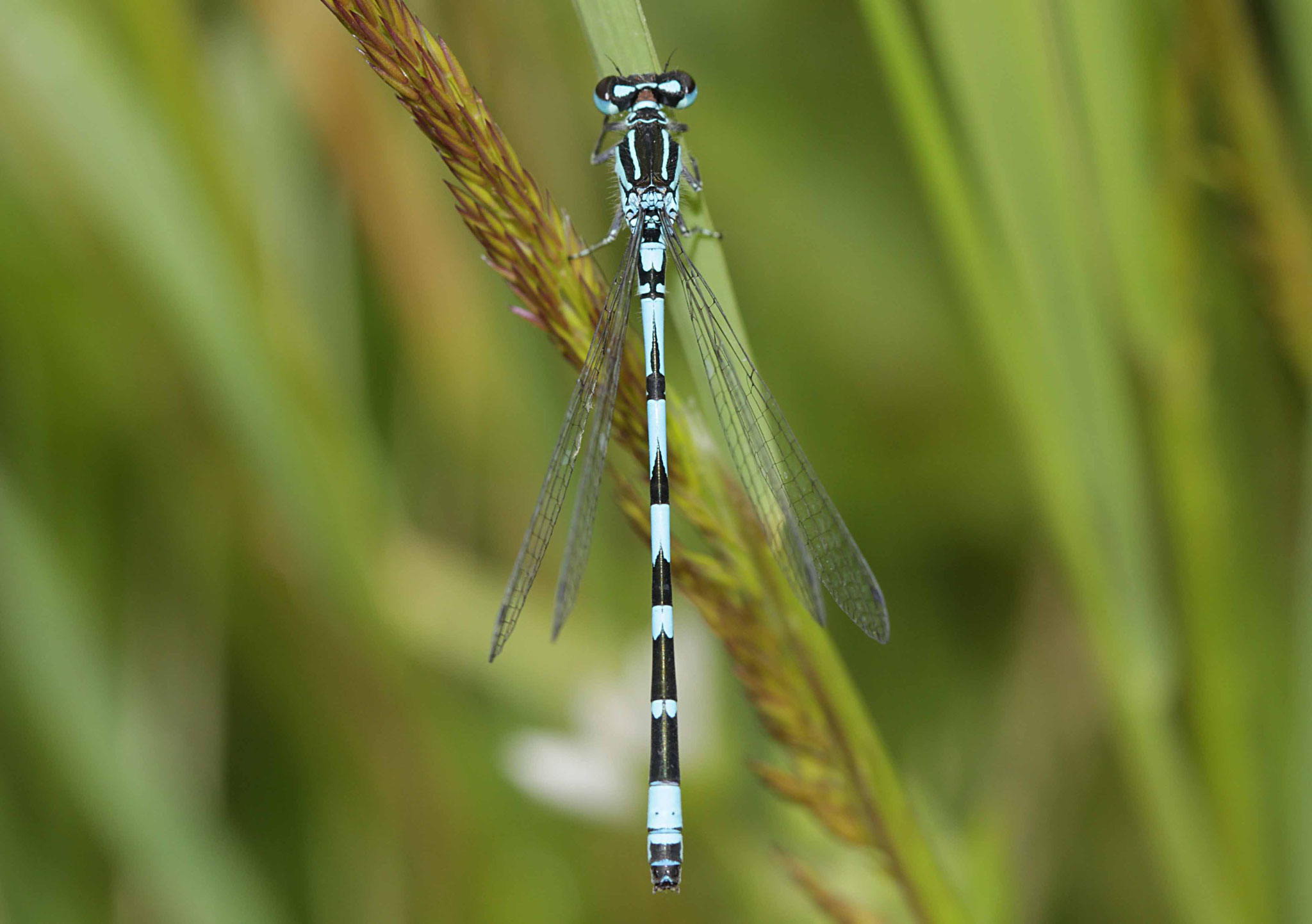 Vogel-Azurjungfer, Coenagrion ornatum, Männchen.