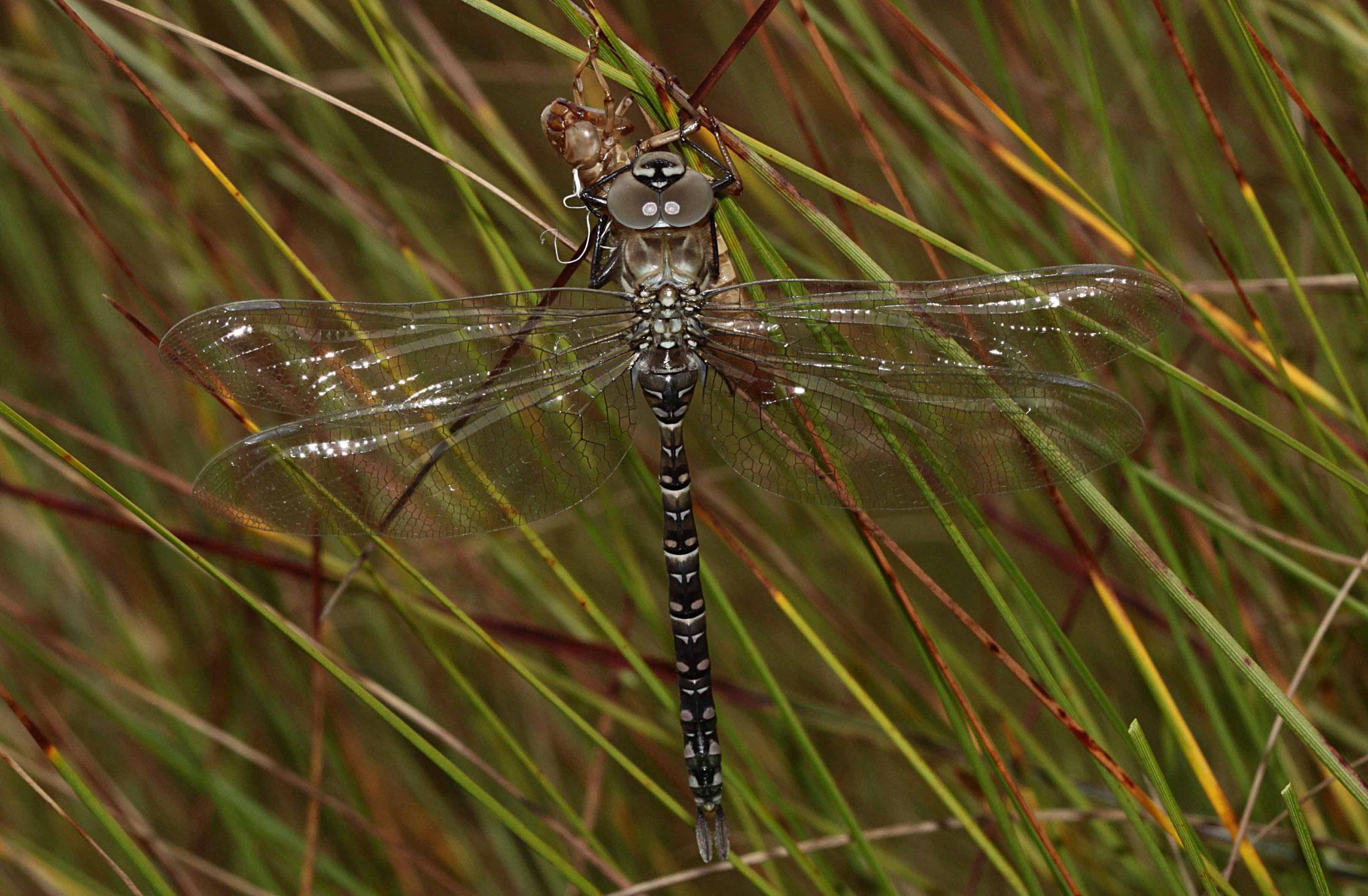 Hochmoor-Mosaikjungfer, Aeshna subarctica elisabethae, Männchen.