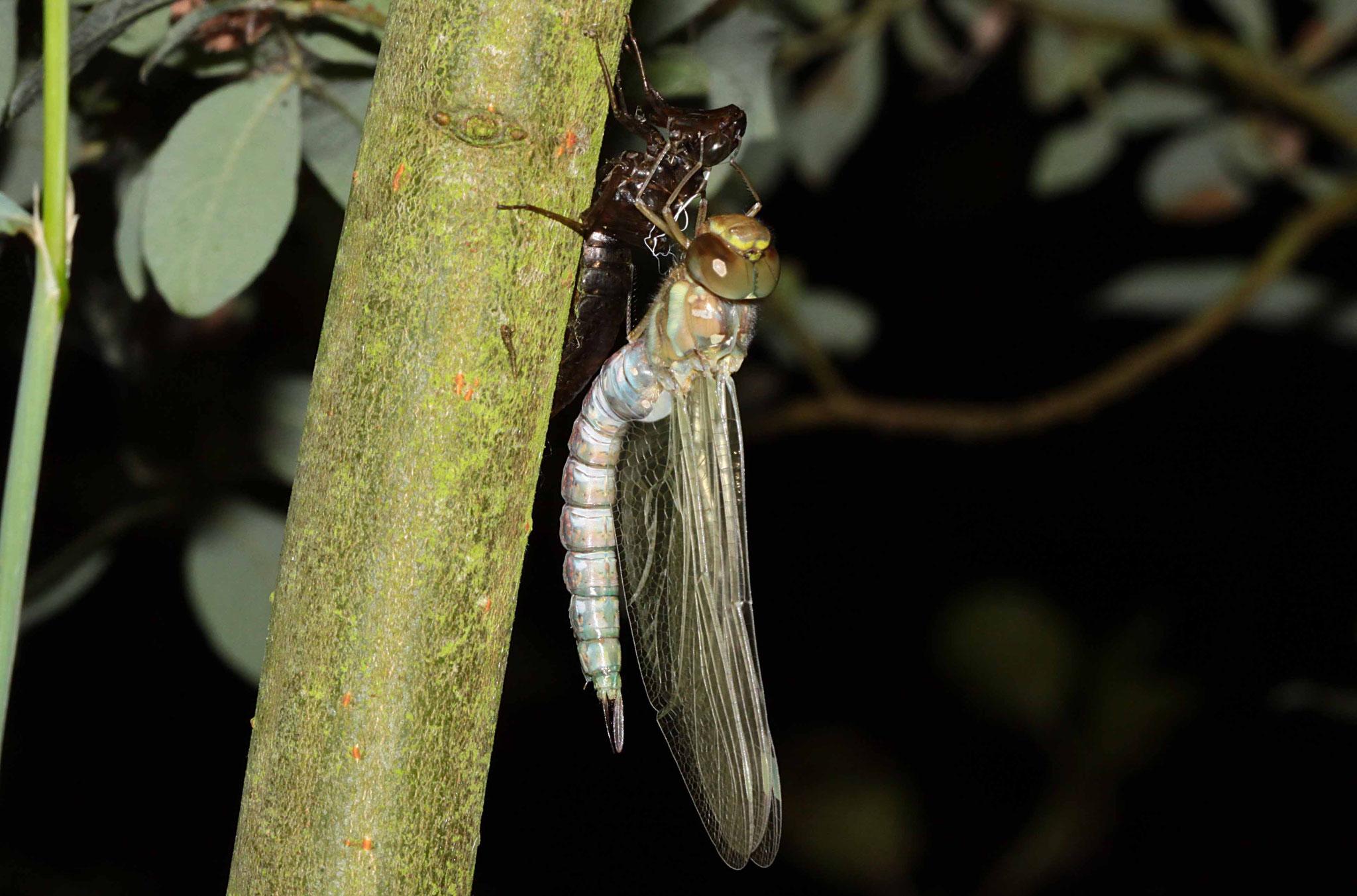 00.05h: Die junge Libelle beginnt sich zu strecken.