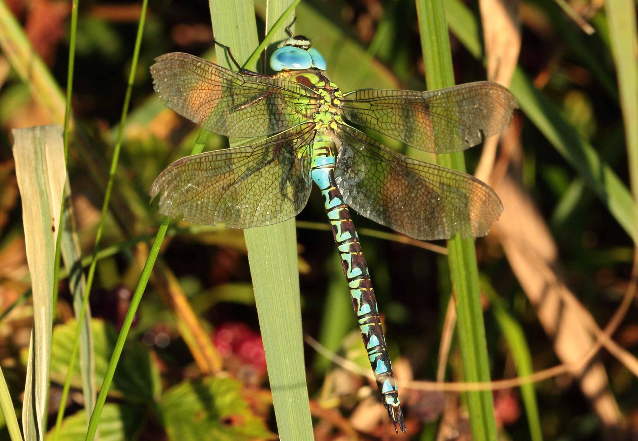 Grüne Mosaikjungfer, Aeshna viridis, Männchen.
