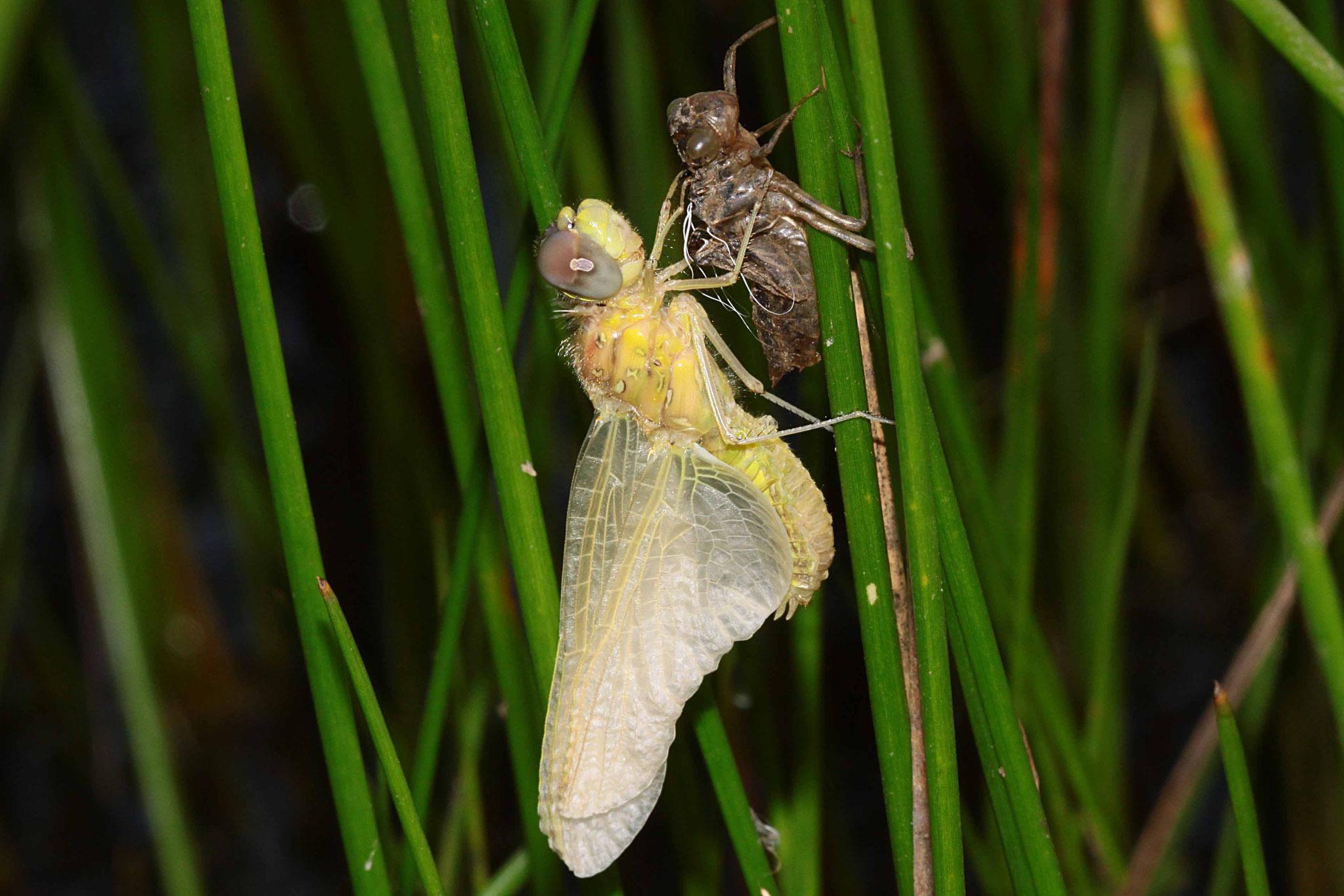 Sympetrum fonscolombii, Weibchen beim Schlupf (1).