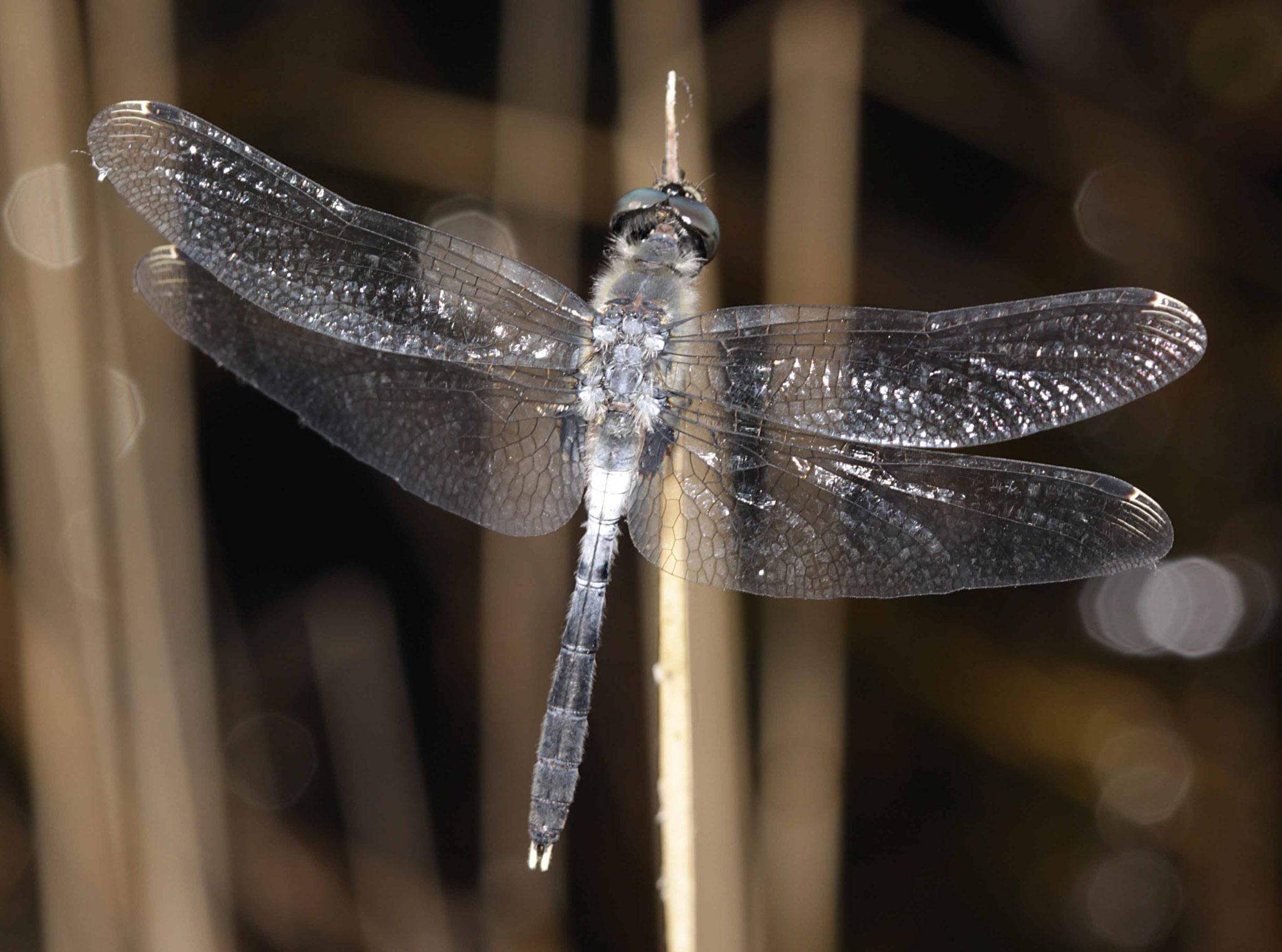 Östliche Moosjungfer, Leucorrhinia albifrons, Männchen.