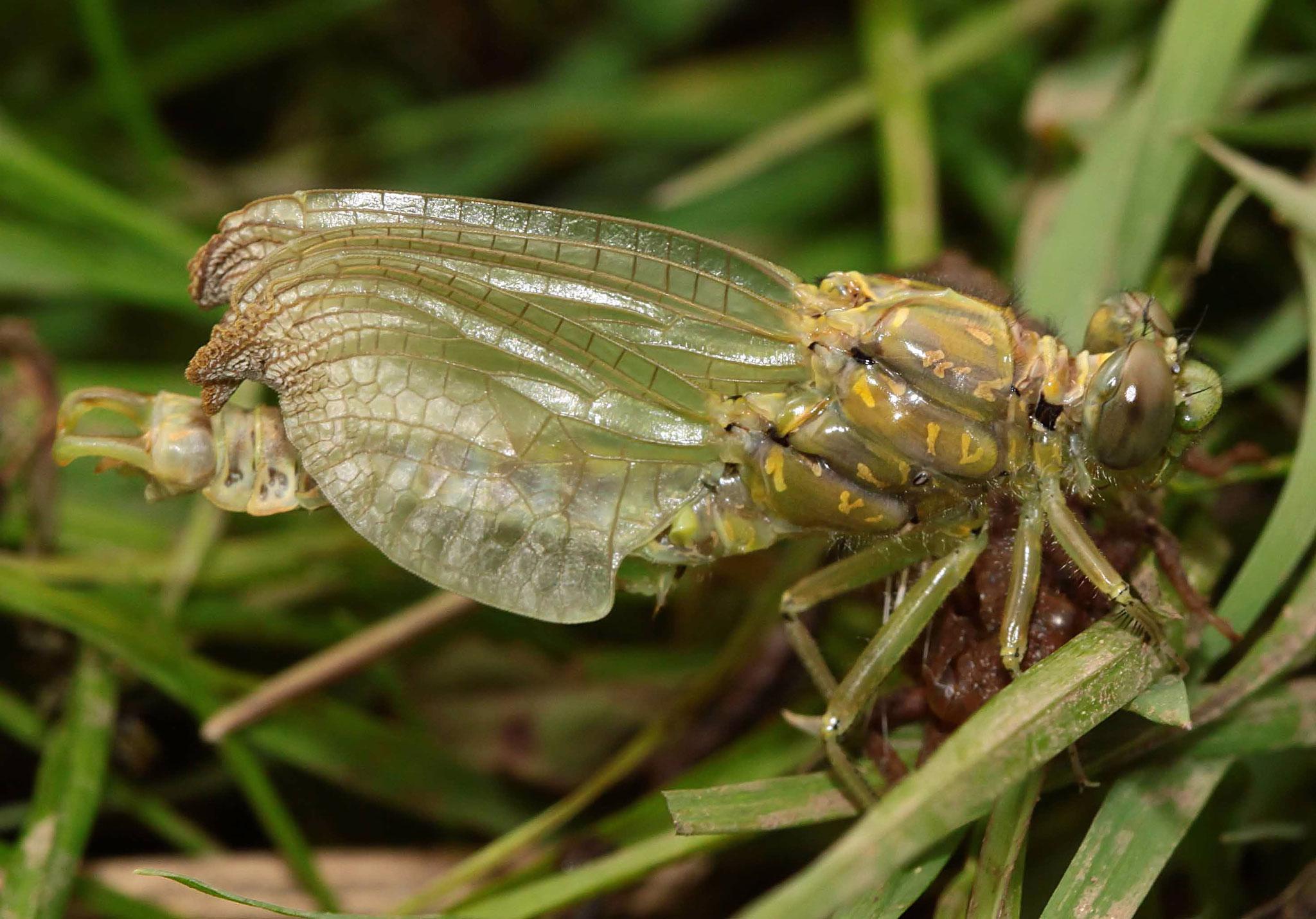 ...und damit das leichter geht, dreht sich die junge Libelle in den Wind.