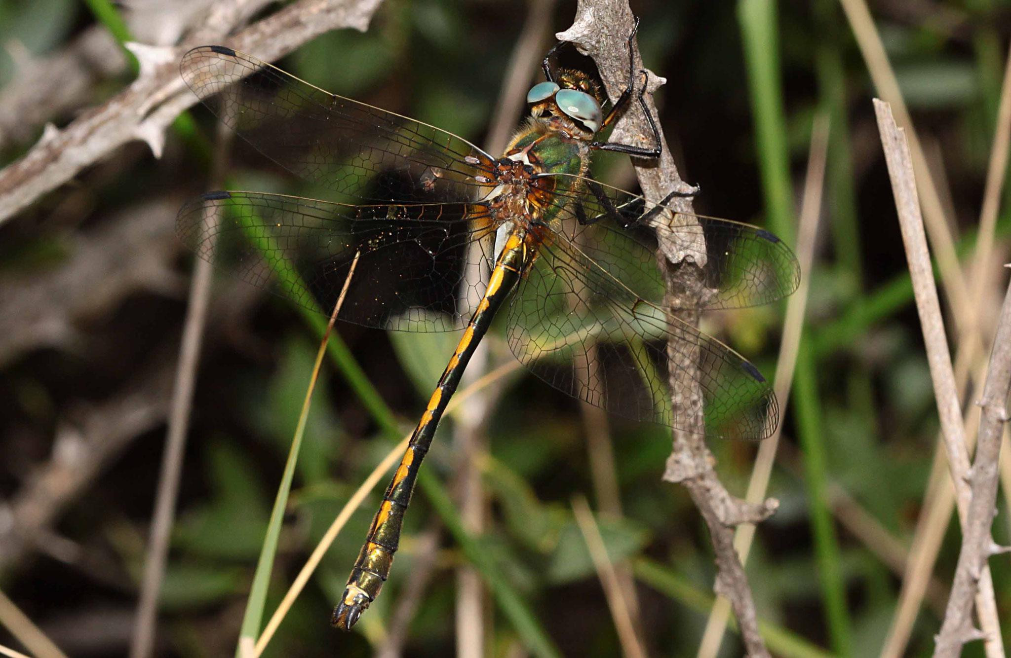 Gekielter Flussfalke, Oxygastra curtisii, Männchen.