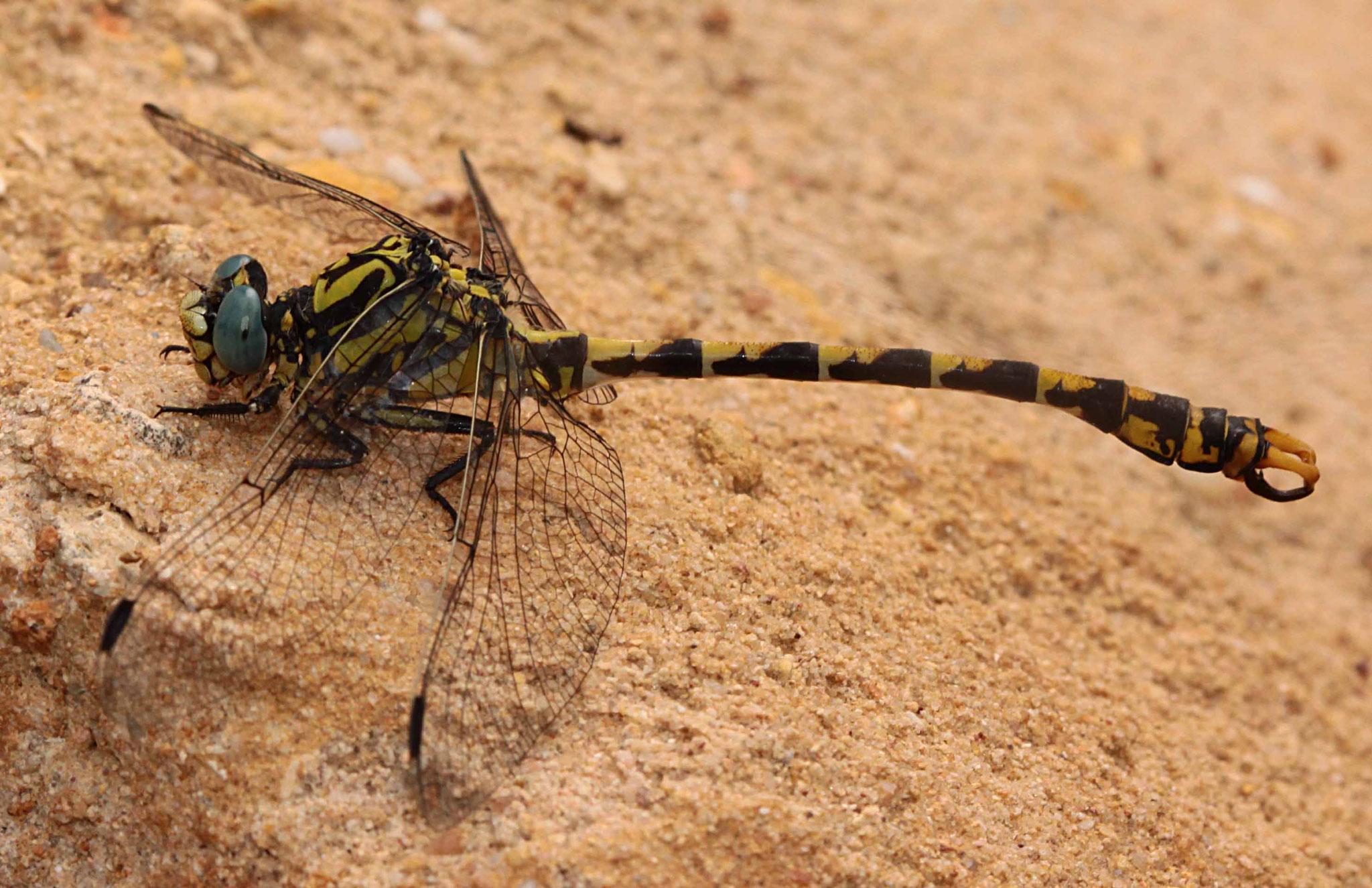 Große Zangenlibelle, Onychogomphus uncatus, Männchen, (in D ausgestorben!).