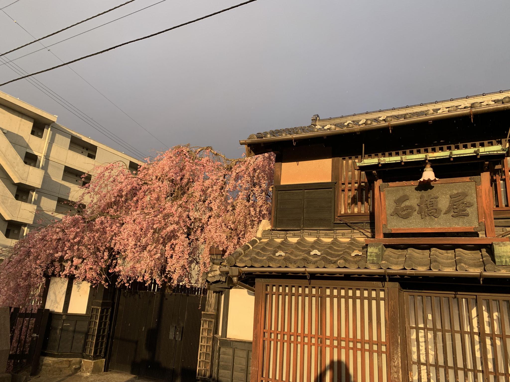 石橋屋さんの桜