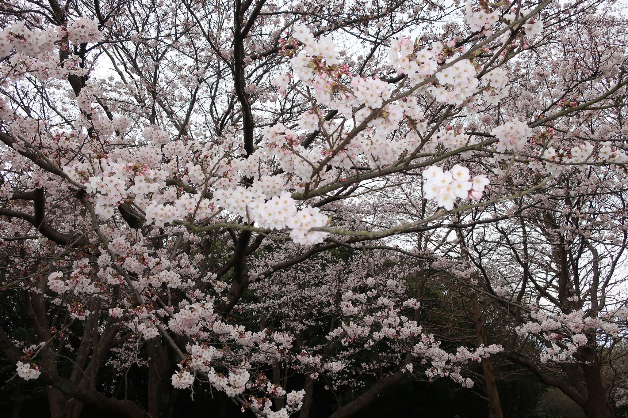 大庭城趾公園の桜