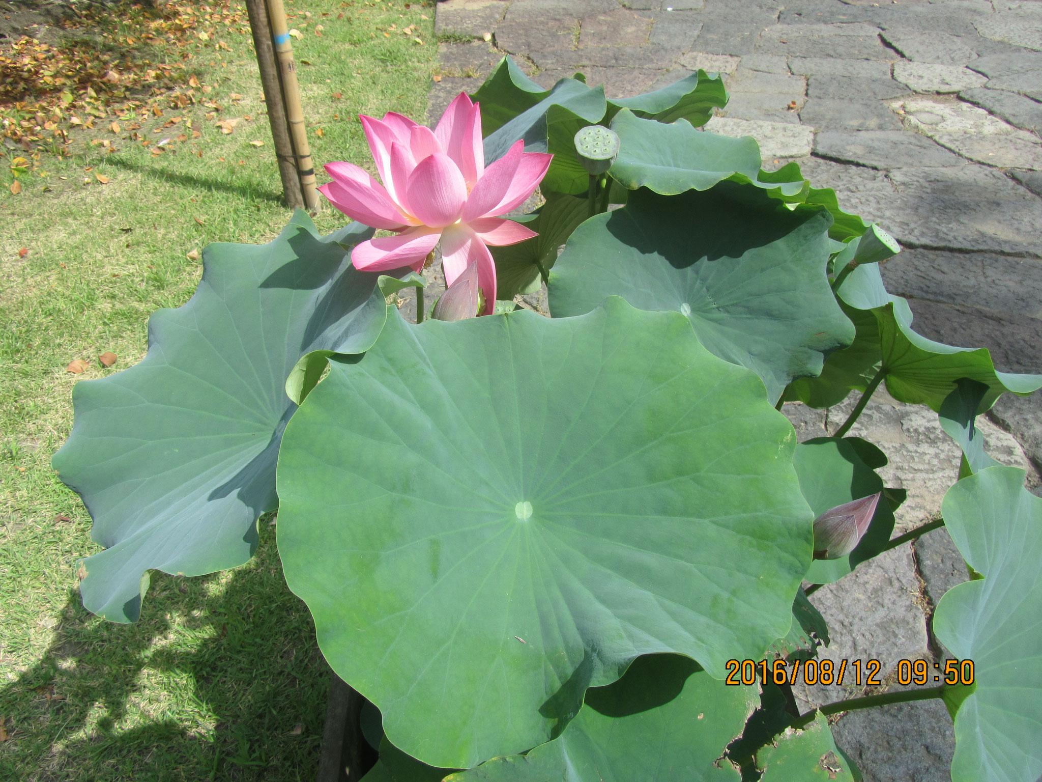 ハスの花が、昌幸・信繁と信幸との悲しい別れを哀れむように、悲しげに咲いていました。