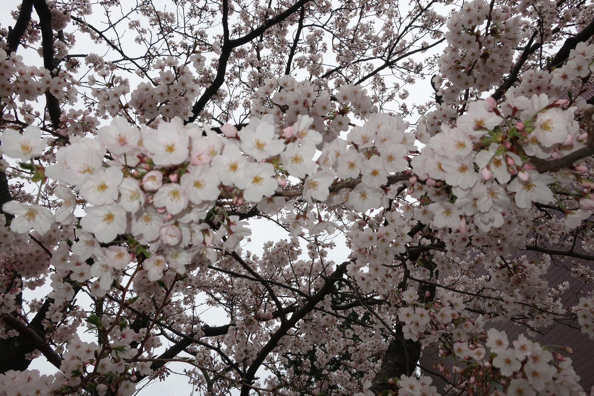 平和学園の桜