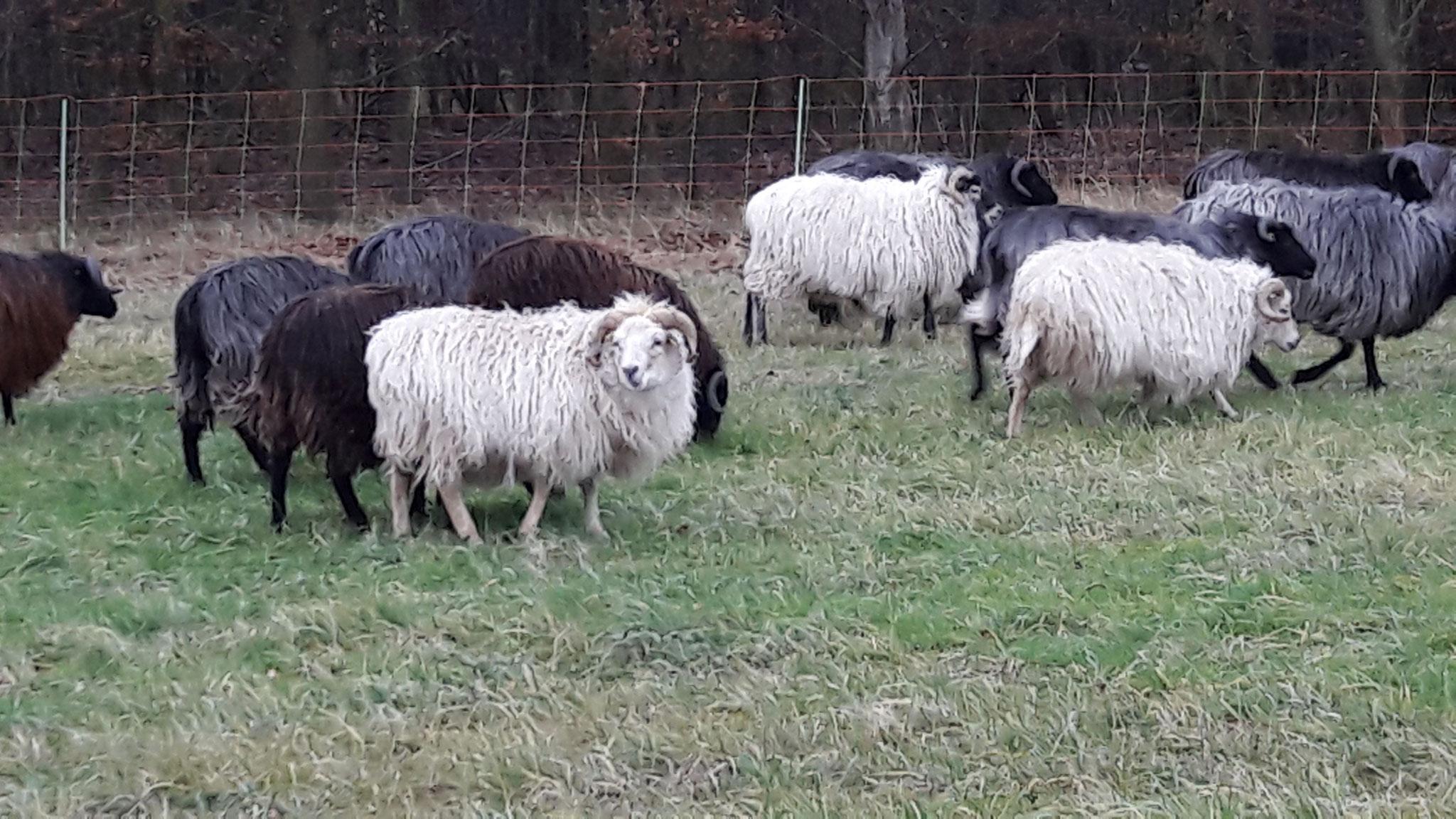 Schafe Bild: NABU Rhein-Erft