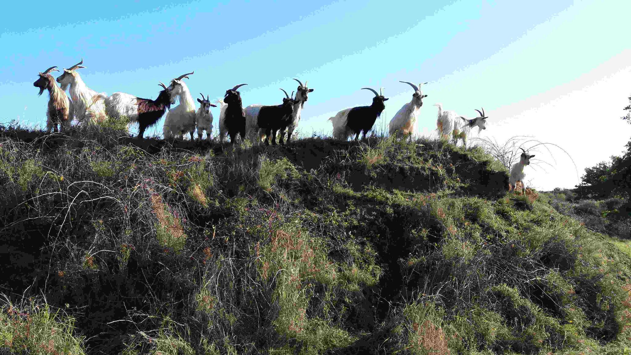 Ziegen auf Hügel Bild: NABU Rhein-Erft
