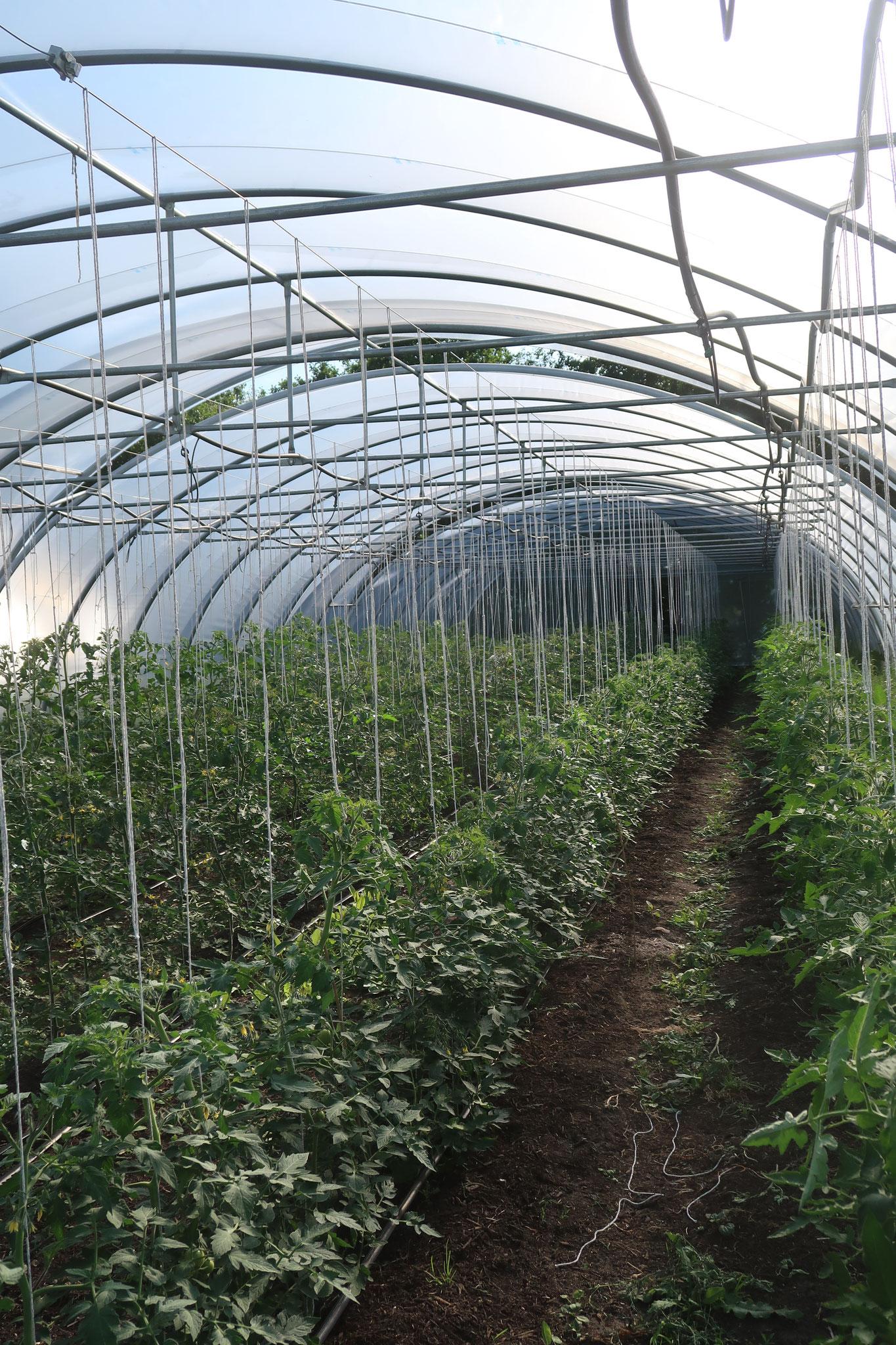 Die Tomaten wachsen schon ganz fleißig in die Höhe...