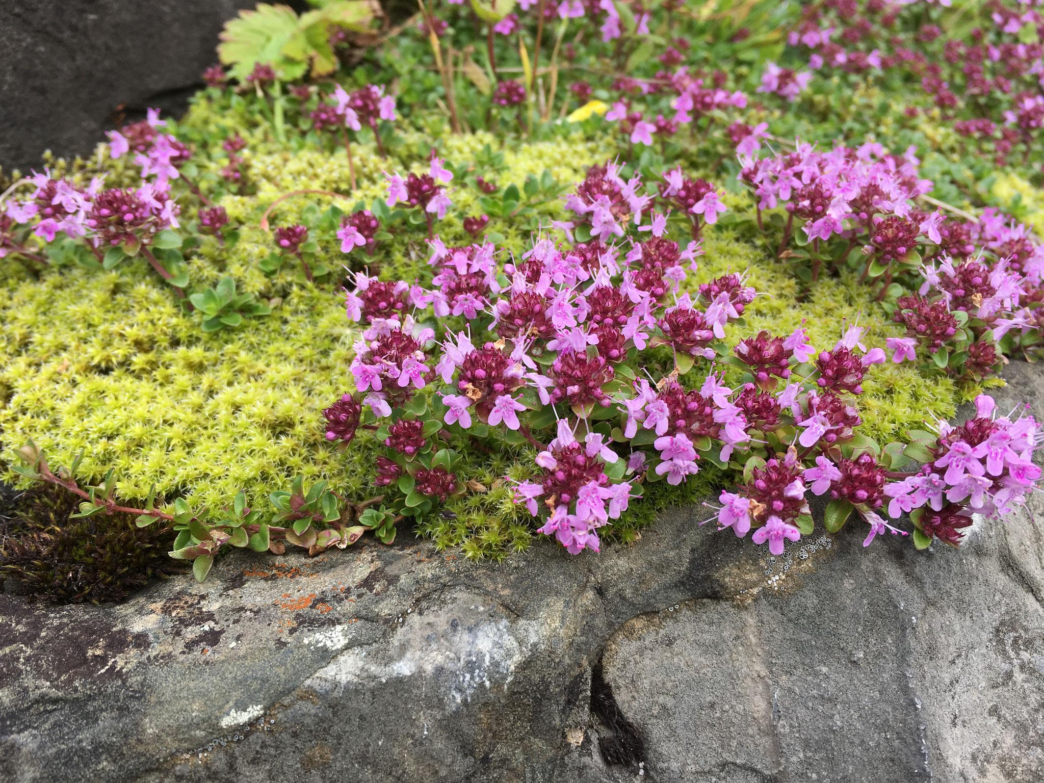 Bergthymian in voller Blüte