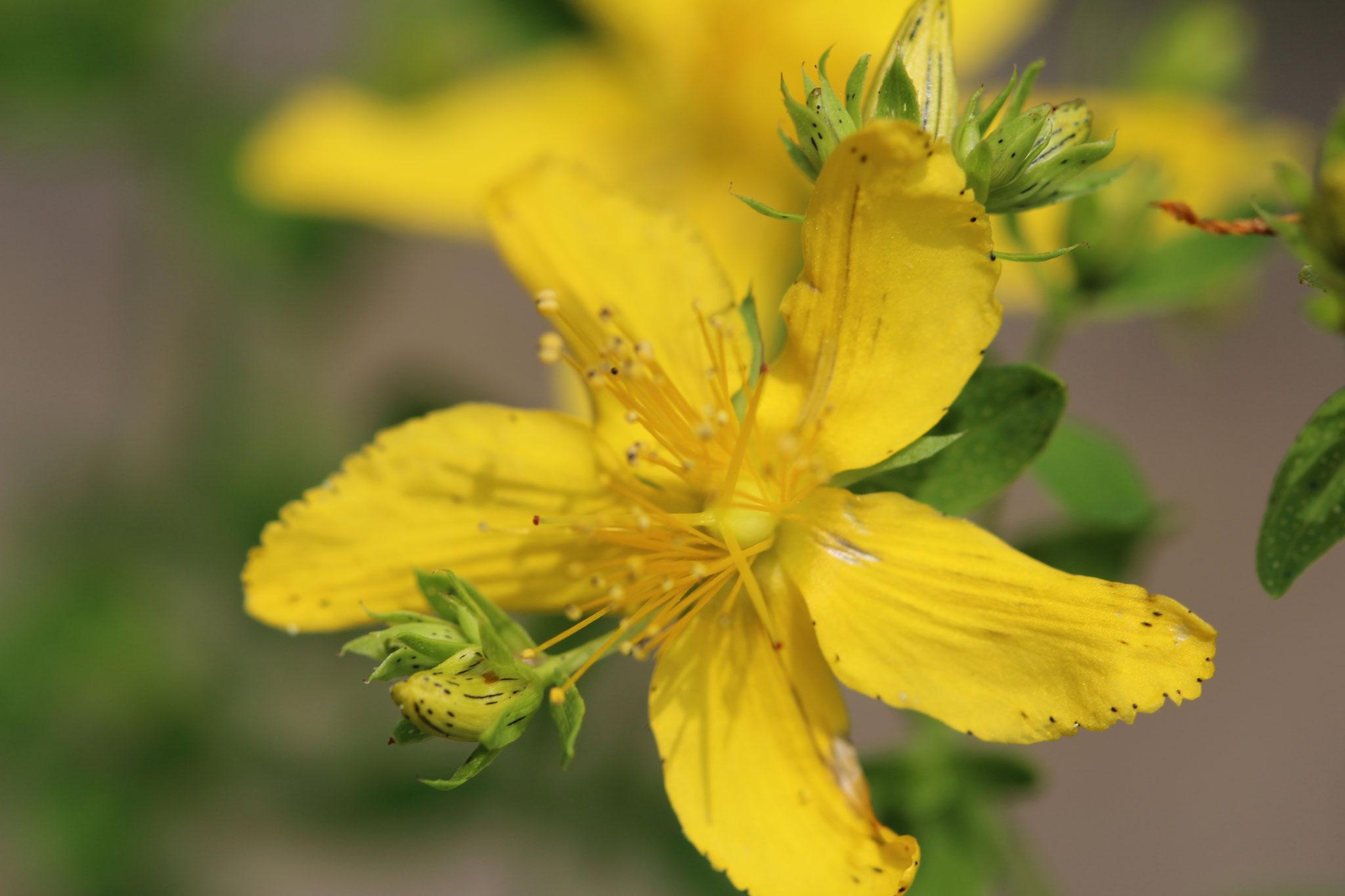 Eine feine Blüte mit grosser Heilkraft