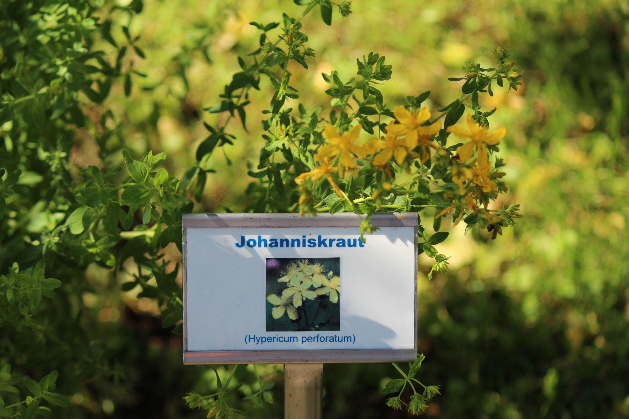 Johanniskraut wächst in Buschiger Form