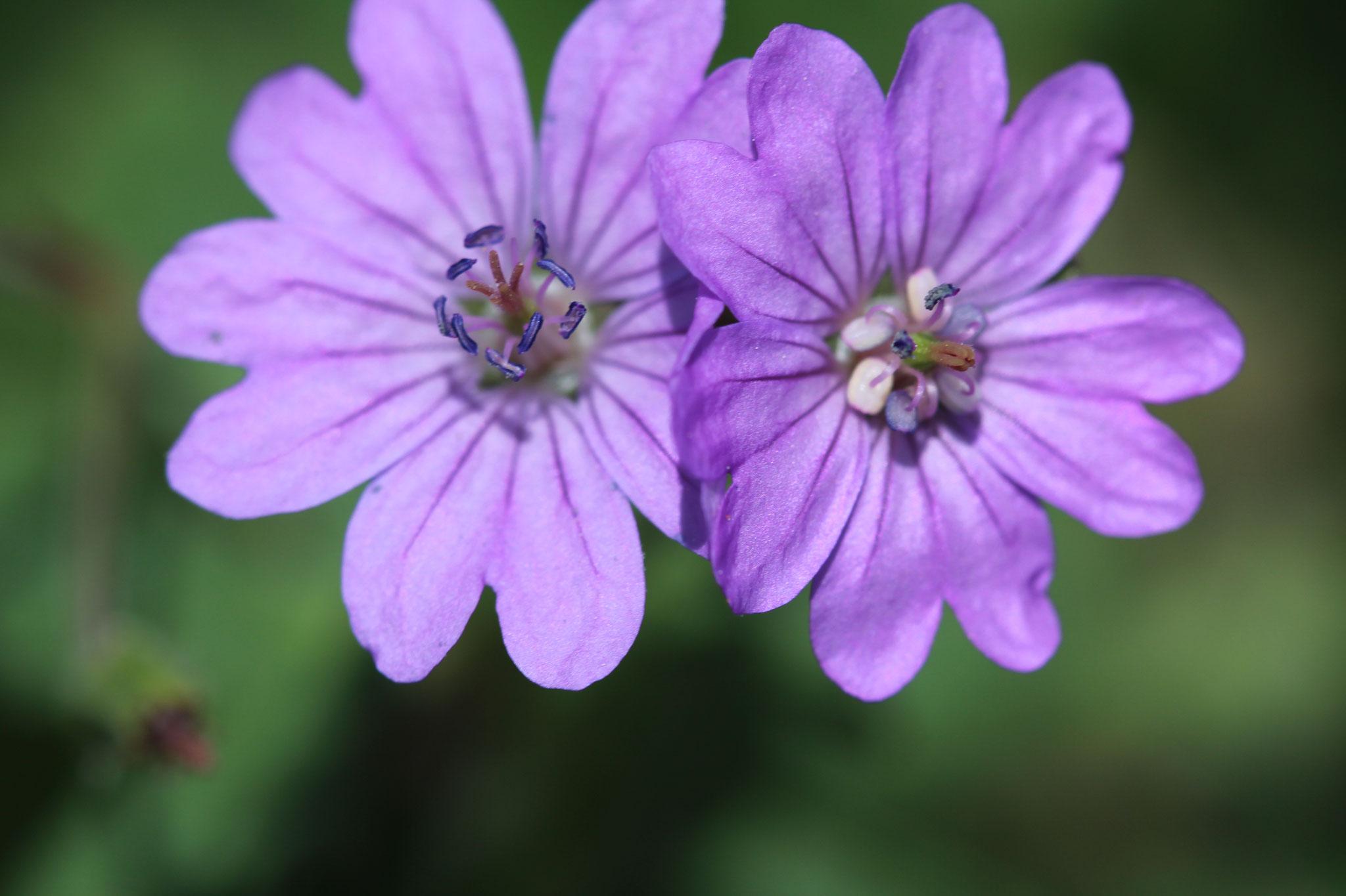 Pyrenäen Storchenschnabel, blühen gern zu zweit nahe beieinander