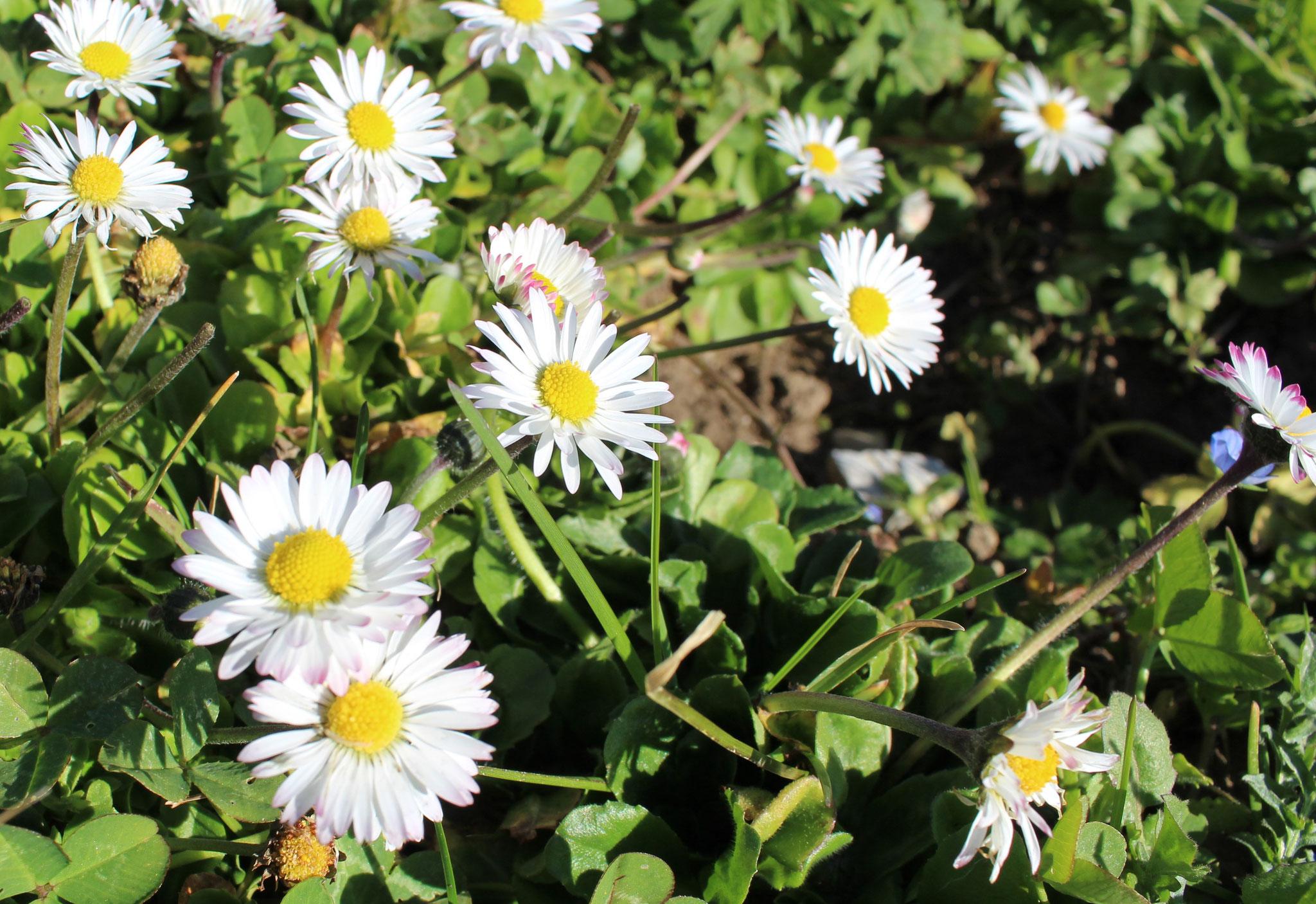 Eine wunderschöne Blüte aus der Familie der Korbblütler