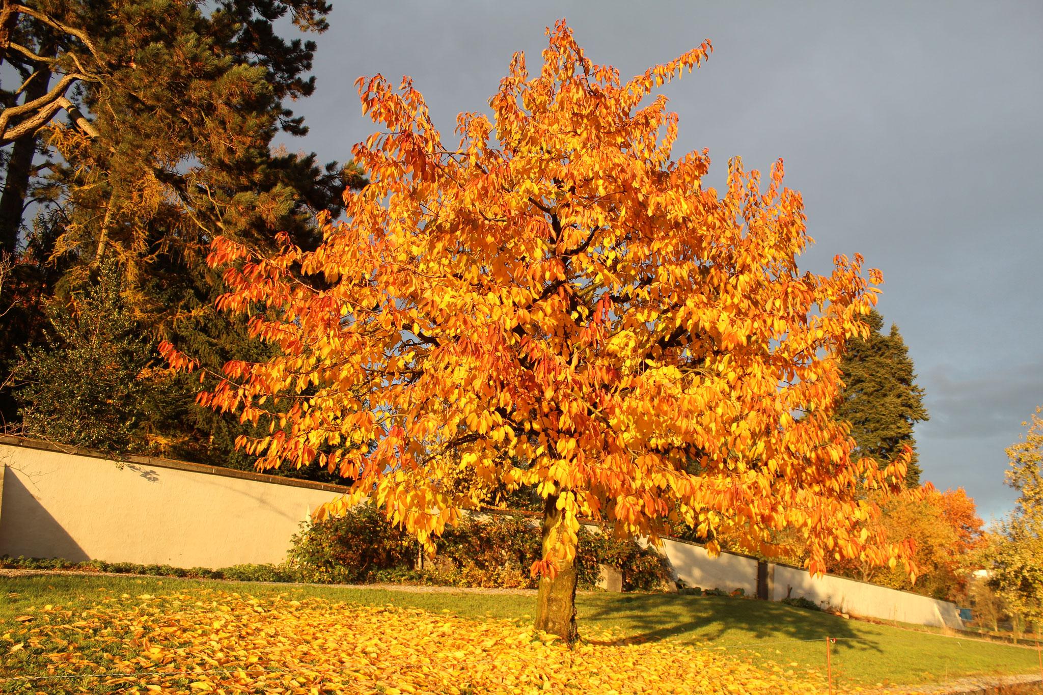 Der Kirschbaum im Klostergarten