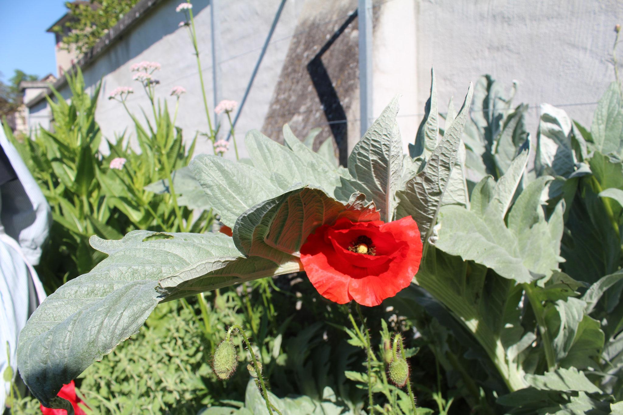 Das Kardy-Gemüse küsst den Mohn