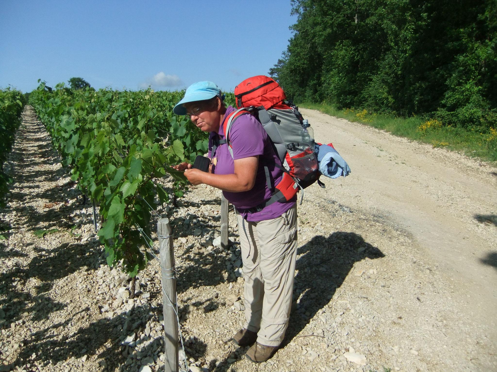 Reingard prüft die Qualität der Trauben bei Chablis