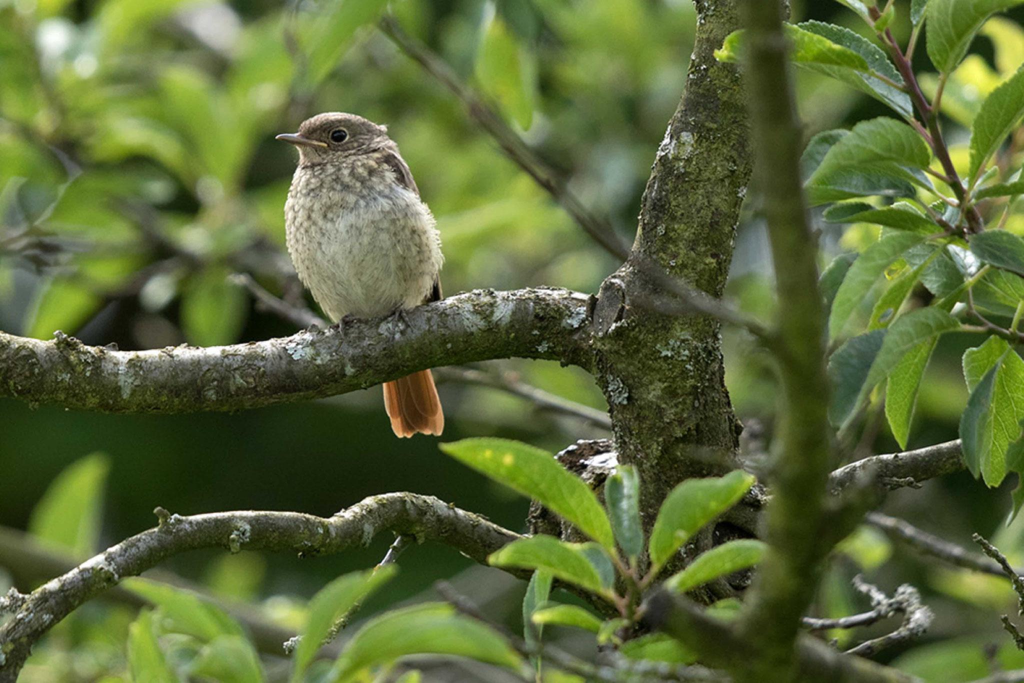 Gartenrotschwanz Jungvogel. Foto NABU B.E.