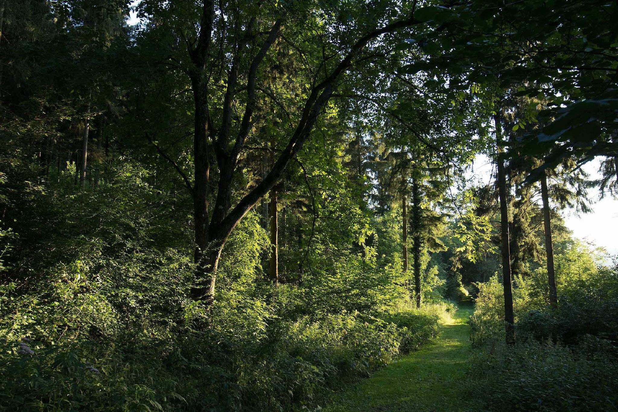Waldweg mit Wasserdost