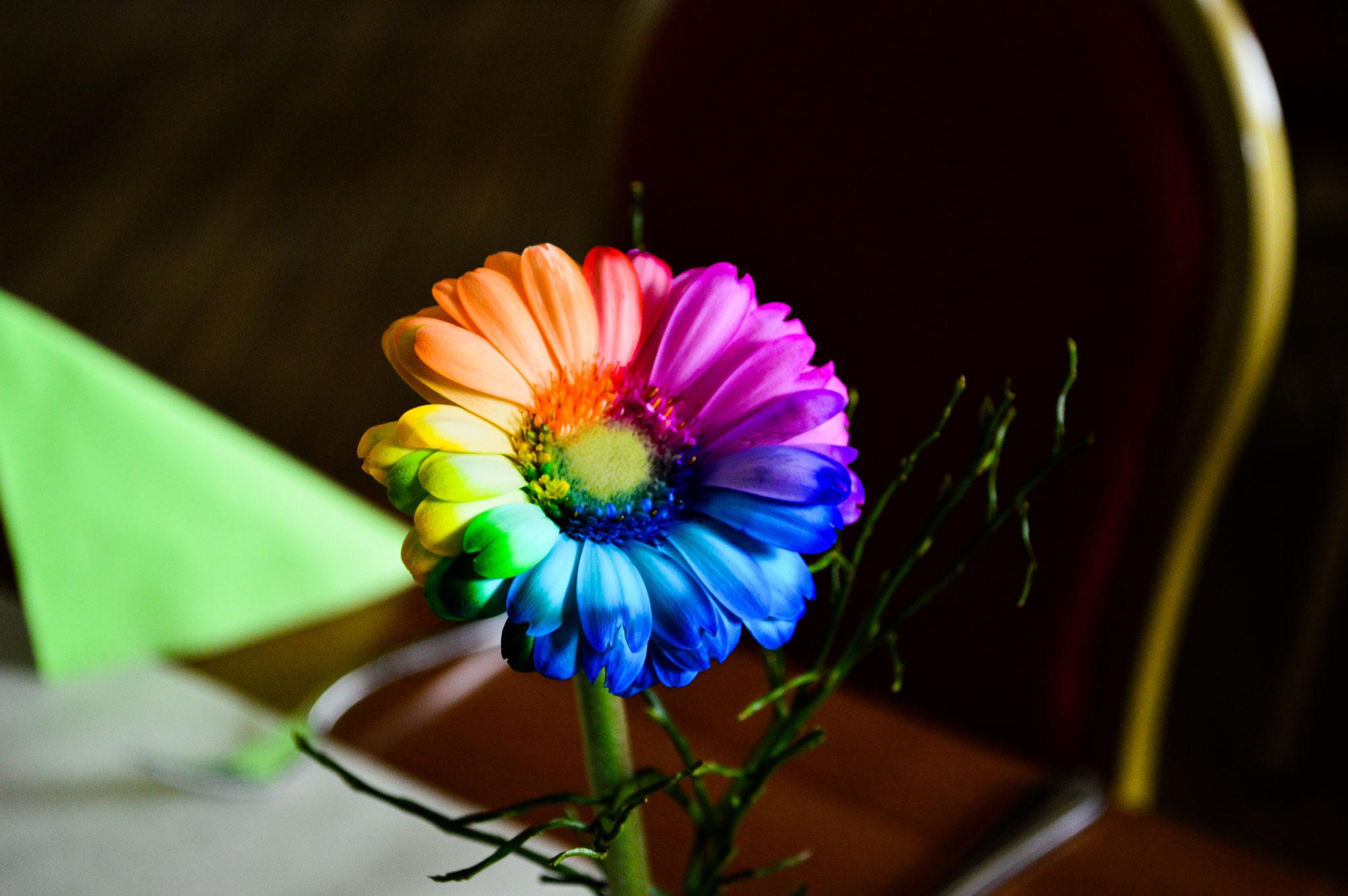 Regenbogen-Gerbera passend zum Regenbogen Song