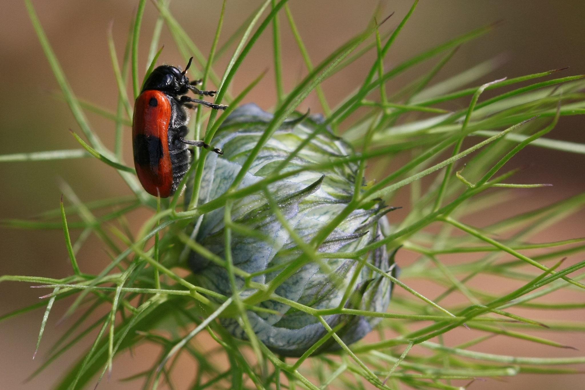 Ameisensackkäfer auf Jungfer im Grünen