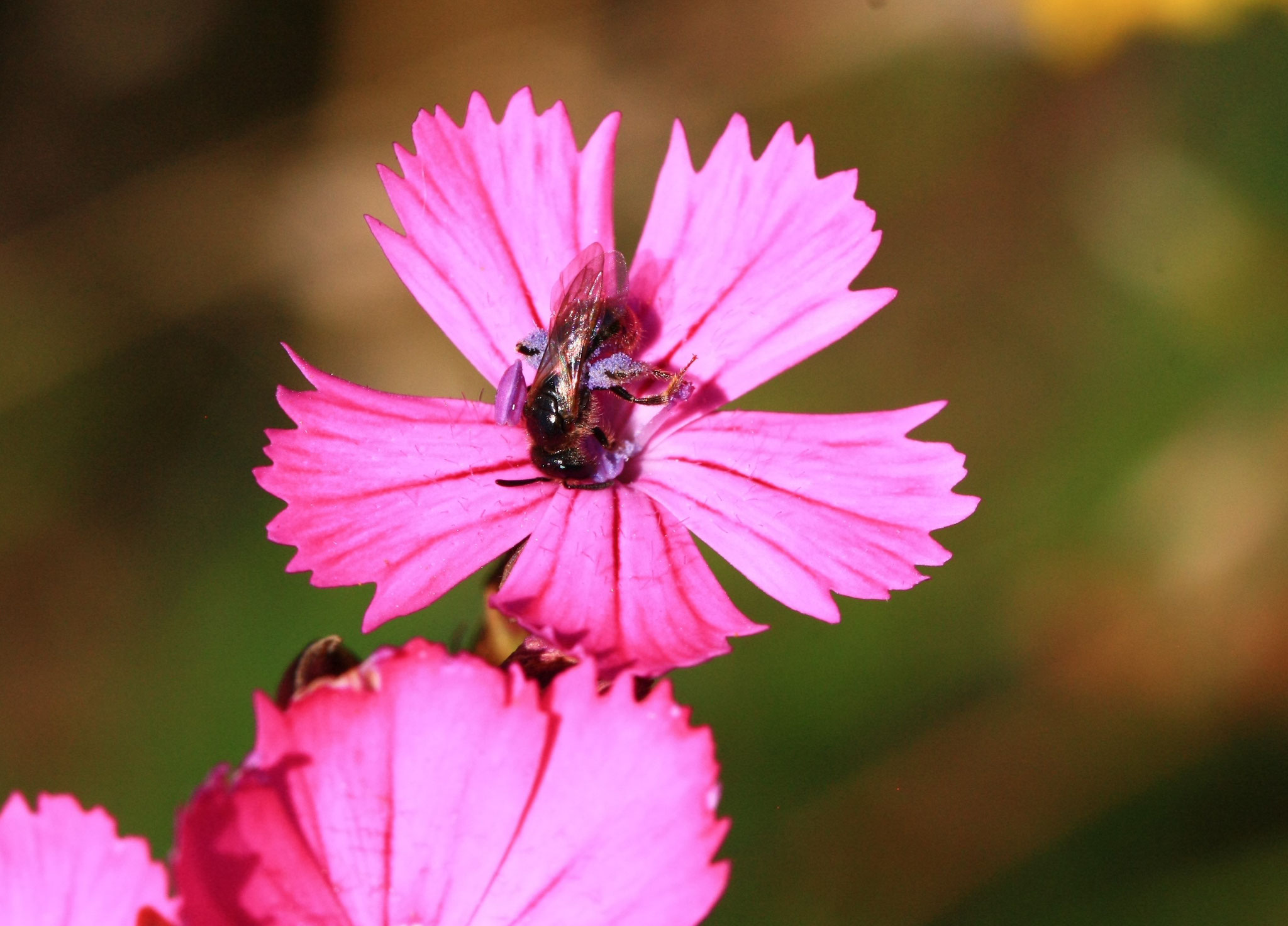 Grüne Furchenbiene mit Pollen