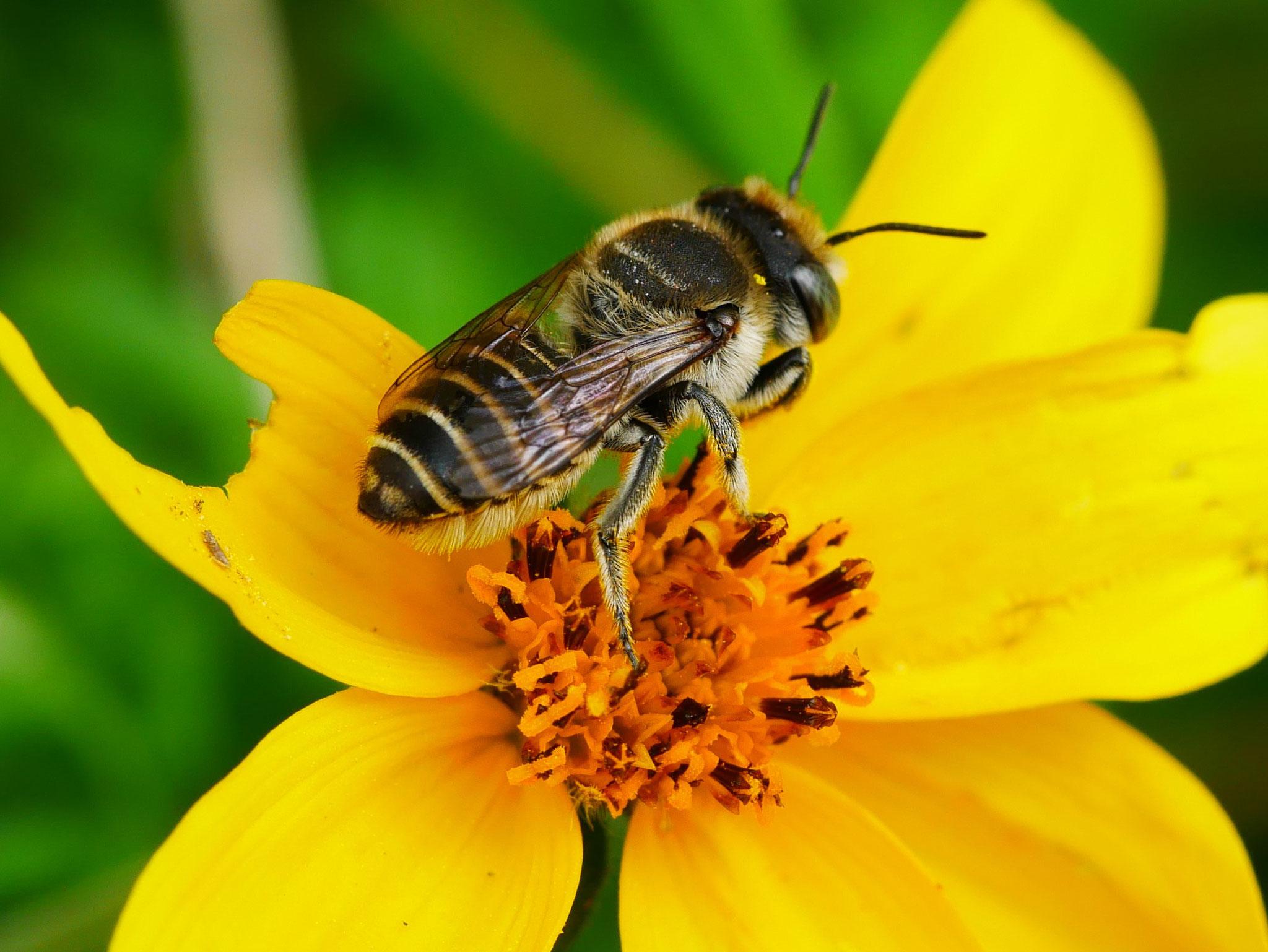 Filzzahn-Blattschneiderbiene
