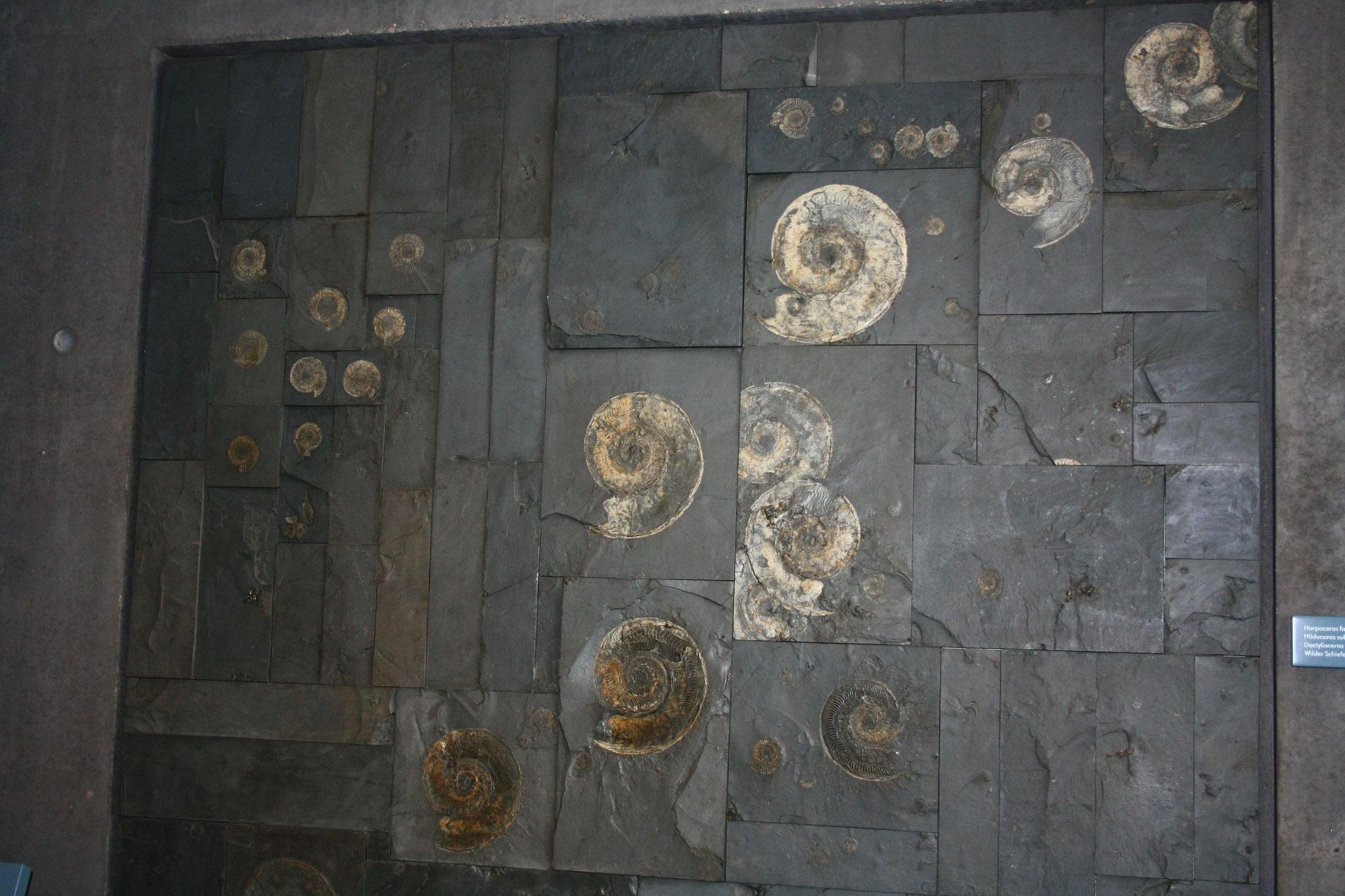 Ammoniten-Wand im Werkforum