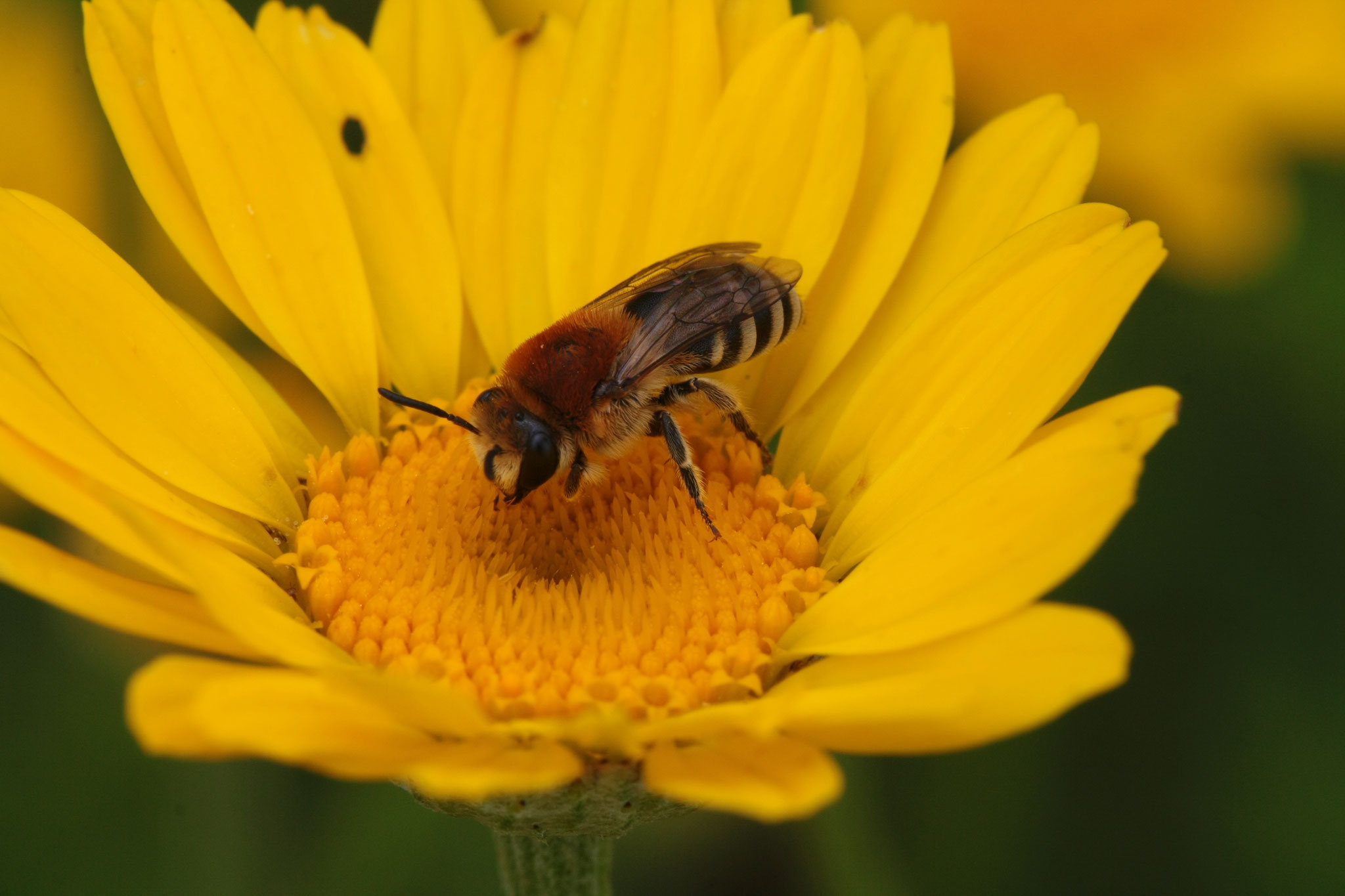 Rainfarn-Seidenbiene auf Färberkamille