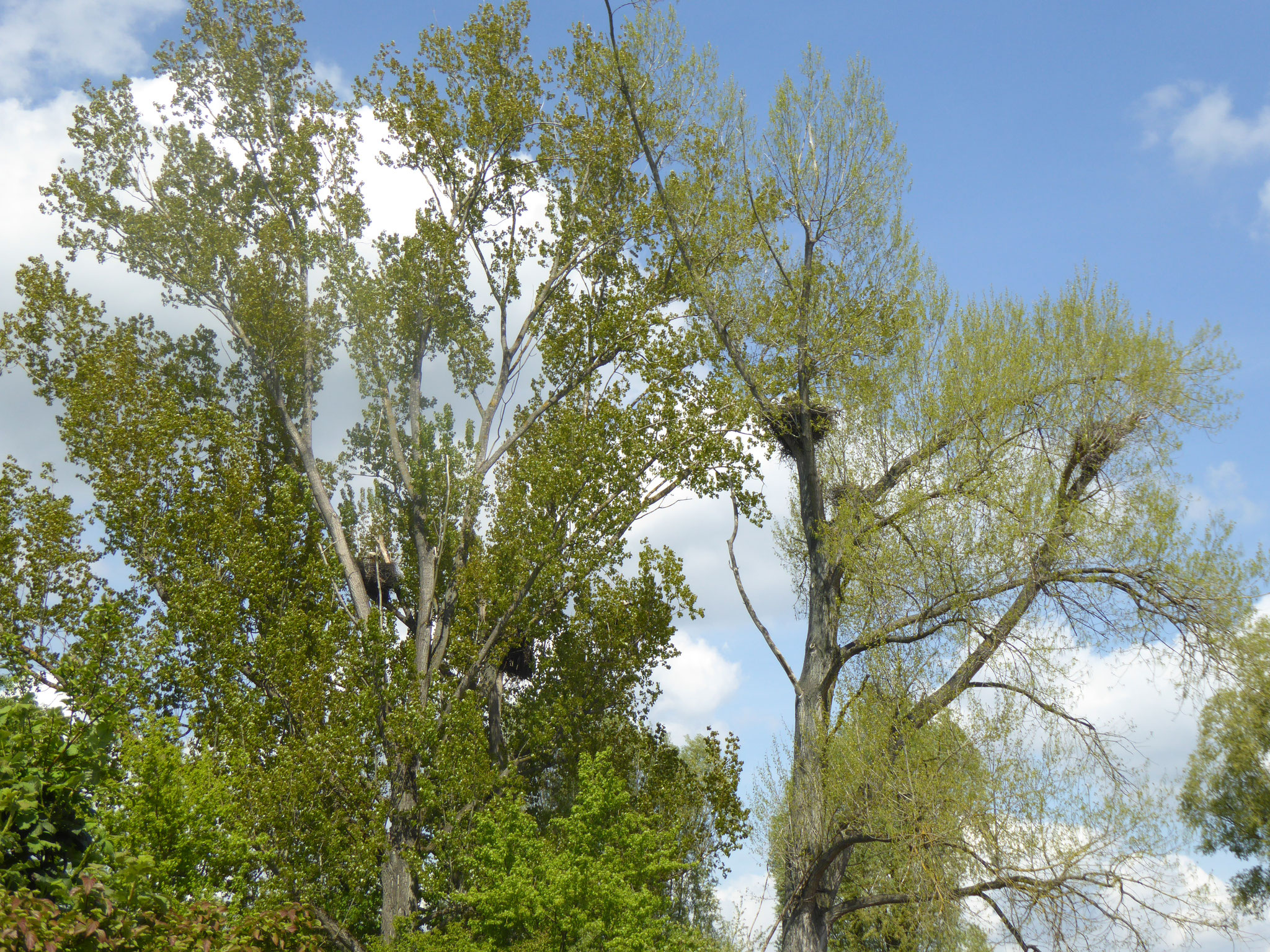 Storchenkolonie in Dornheim, zwischen Neckarring und Baugebiet Nachtweide (7 Nester)