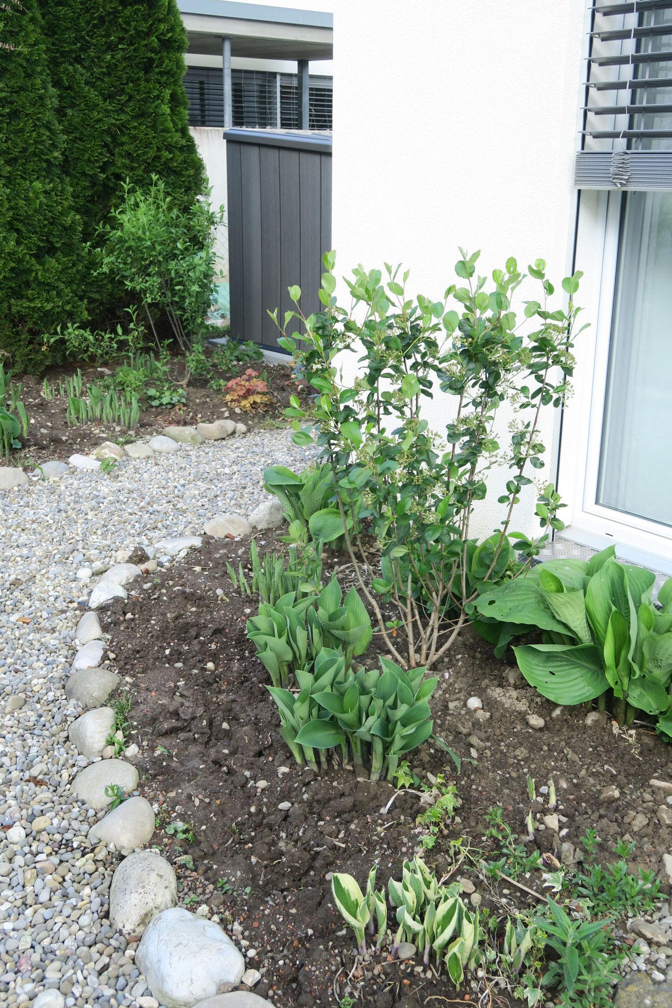 Neubepflanzung nach Gartenberatung: Aronia und Pfaffenhütchen