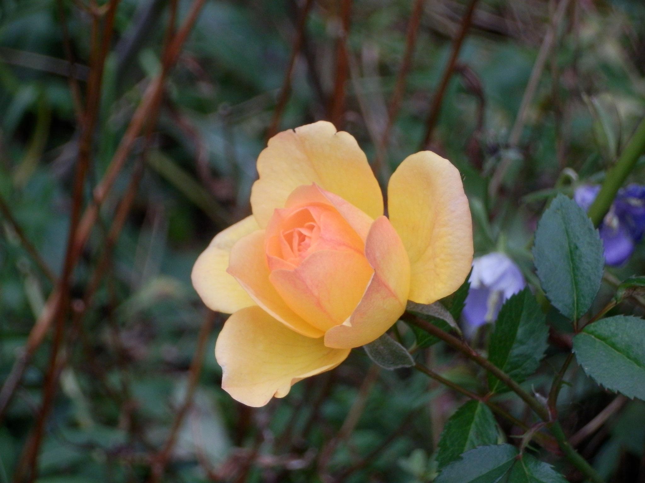 10月25日 春と秋に咲くバラ 雪の後に咲きました
