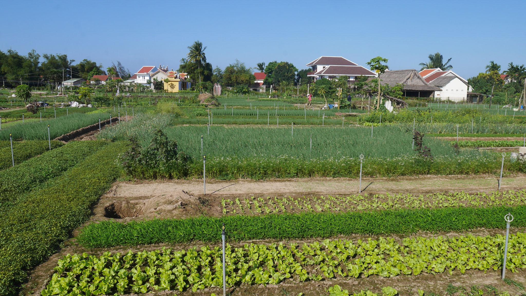 Hoi An - Gemüseanbau
