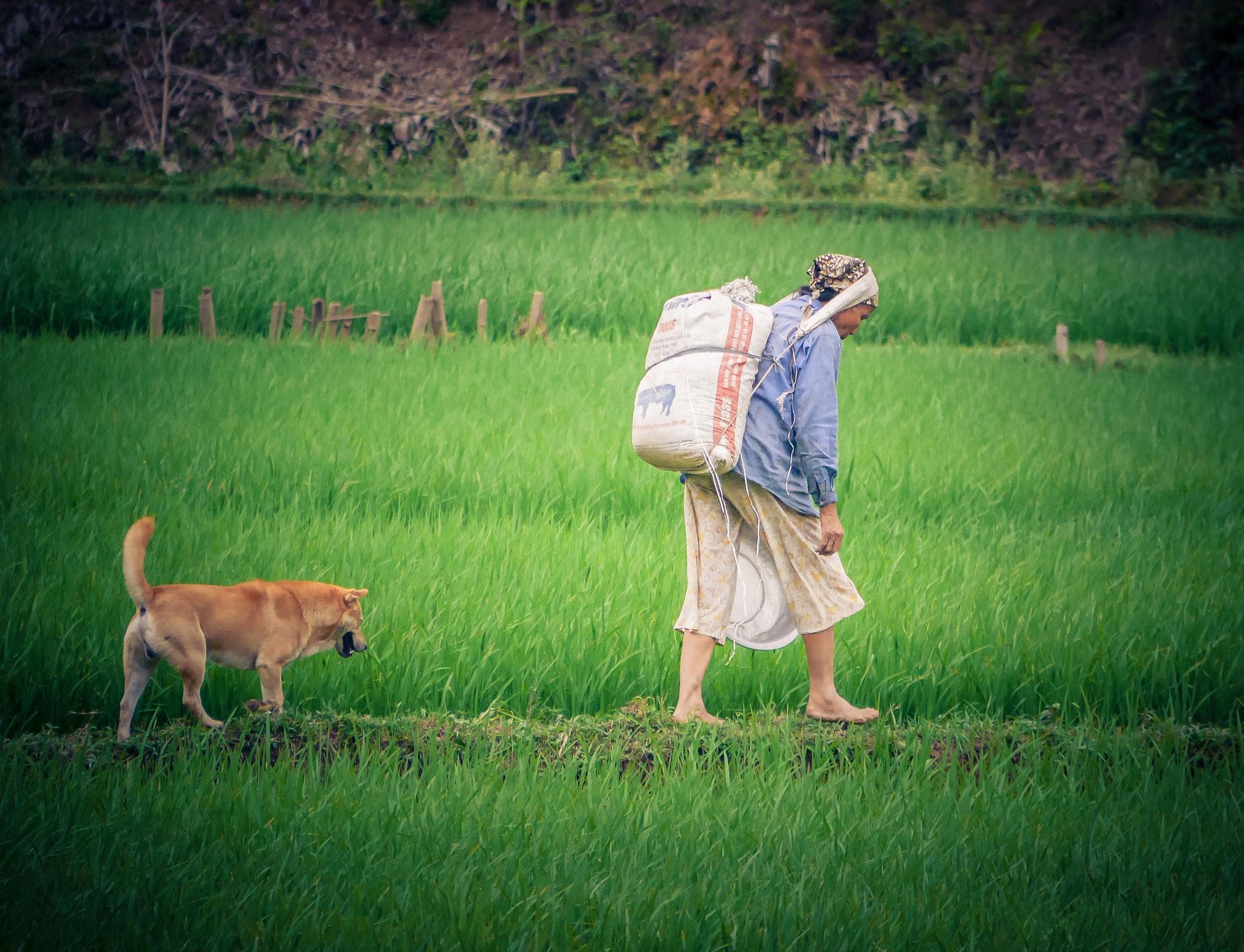 Reisfelder Mai Chau - schwere Arbeit; meist Frauenarbeit