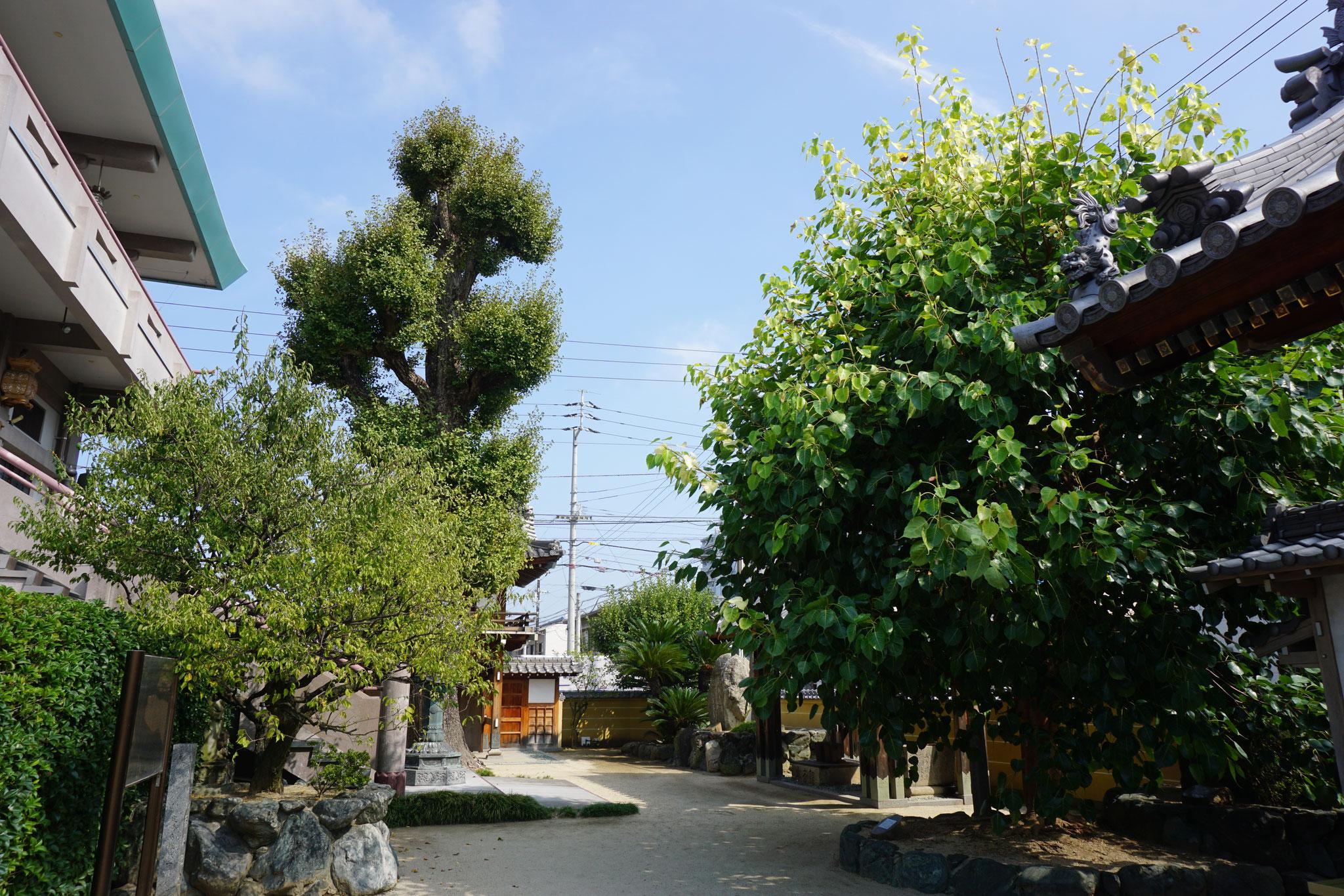大銀杏と印度菩提樹