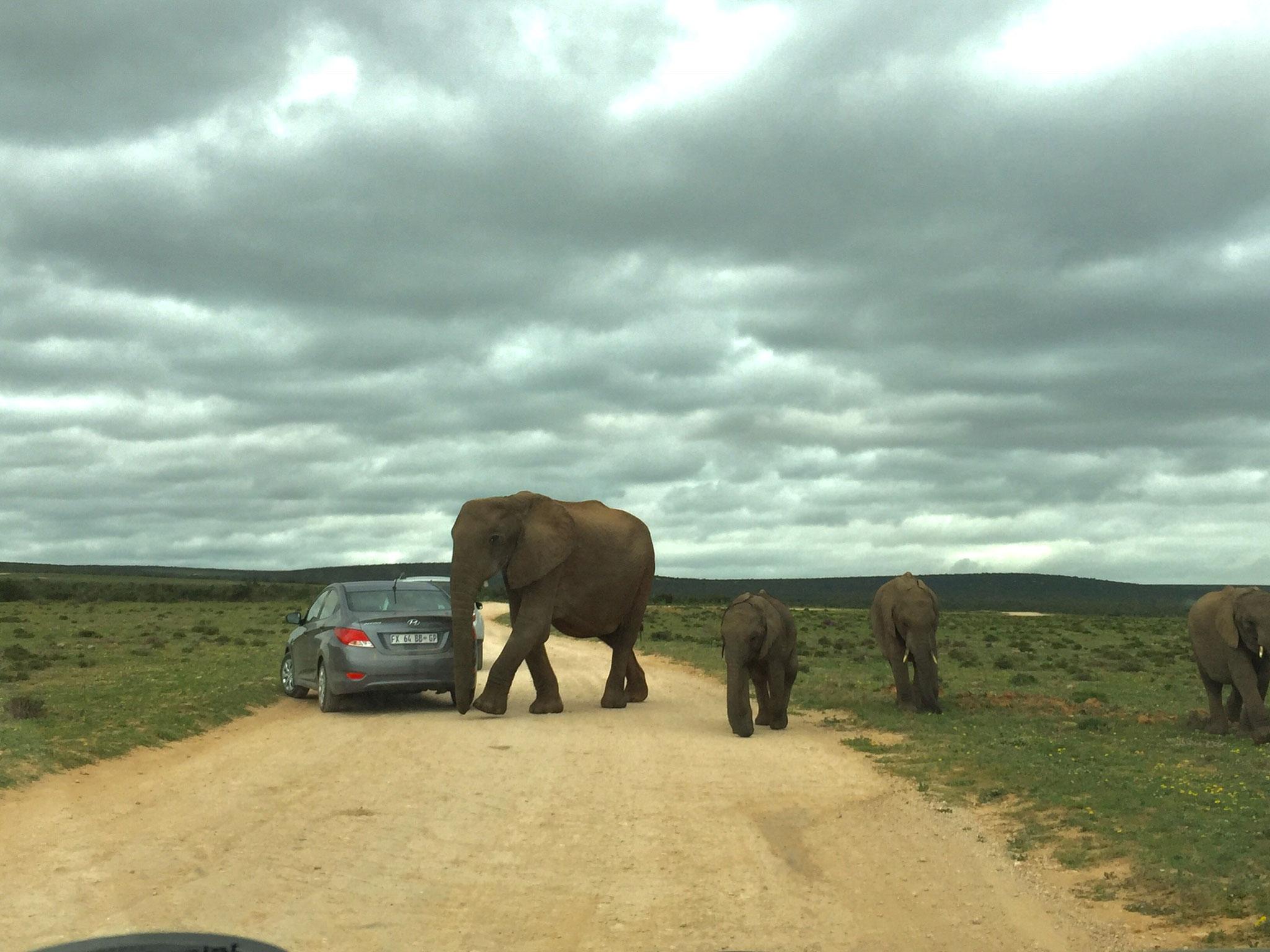 Elefanten im Addo Elephant National Park. Sie laufen auch schon mal direkt am Auto vorbei.