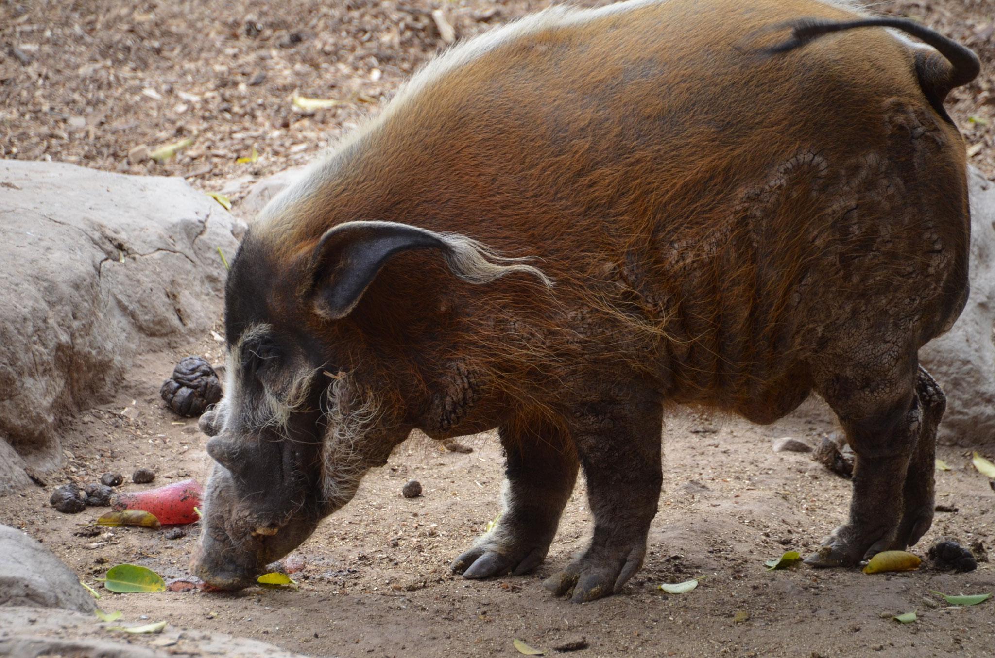 African Bush Pig (Oudtshoorn)