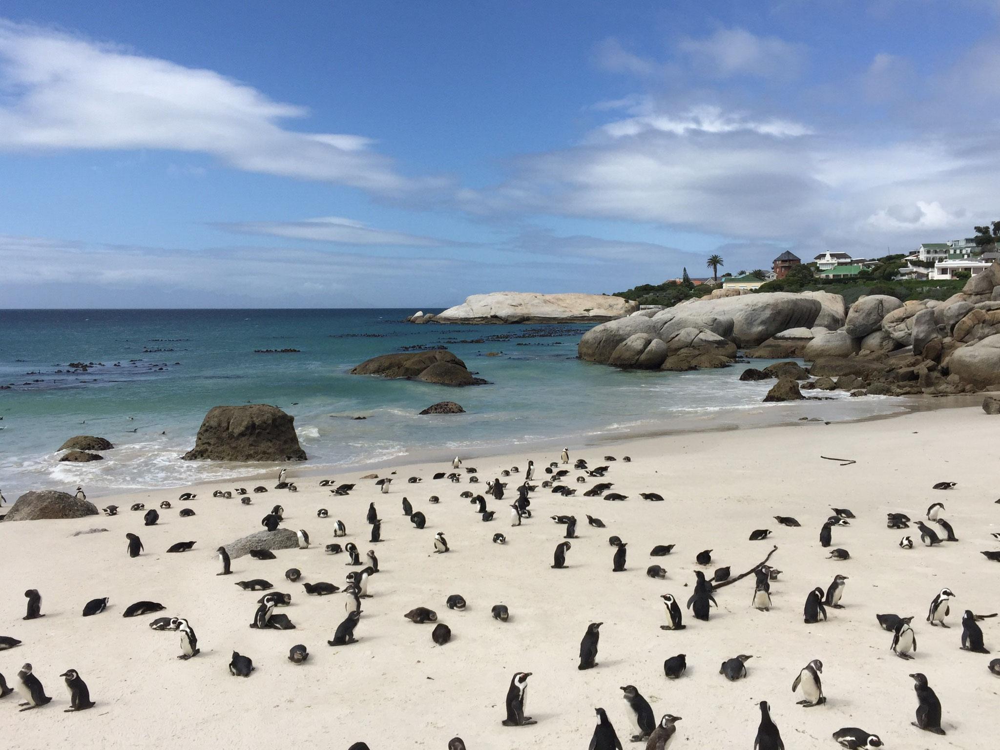 Pinguine am Boulders Beach in Simon's Town südlich von Kapstadt