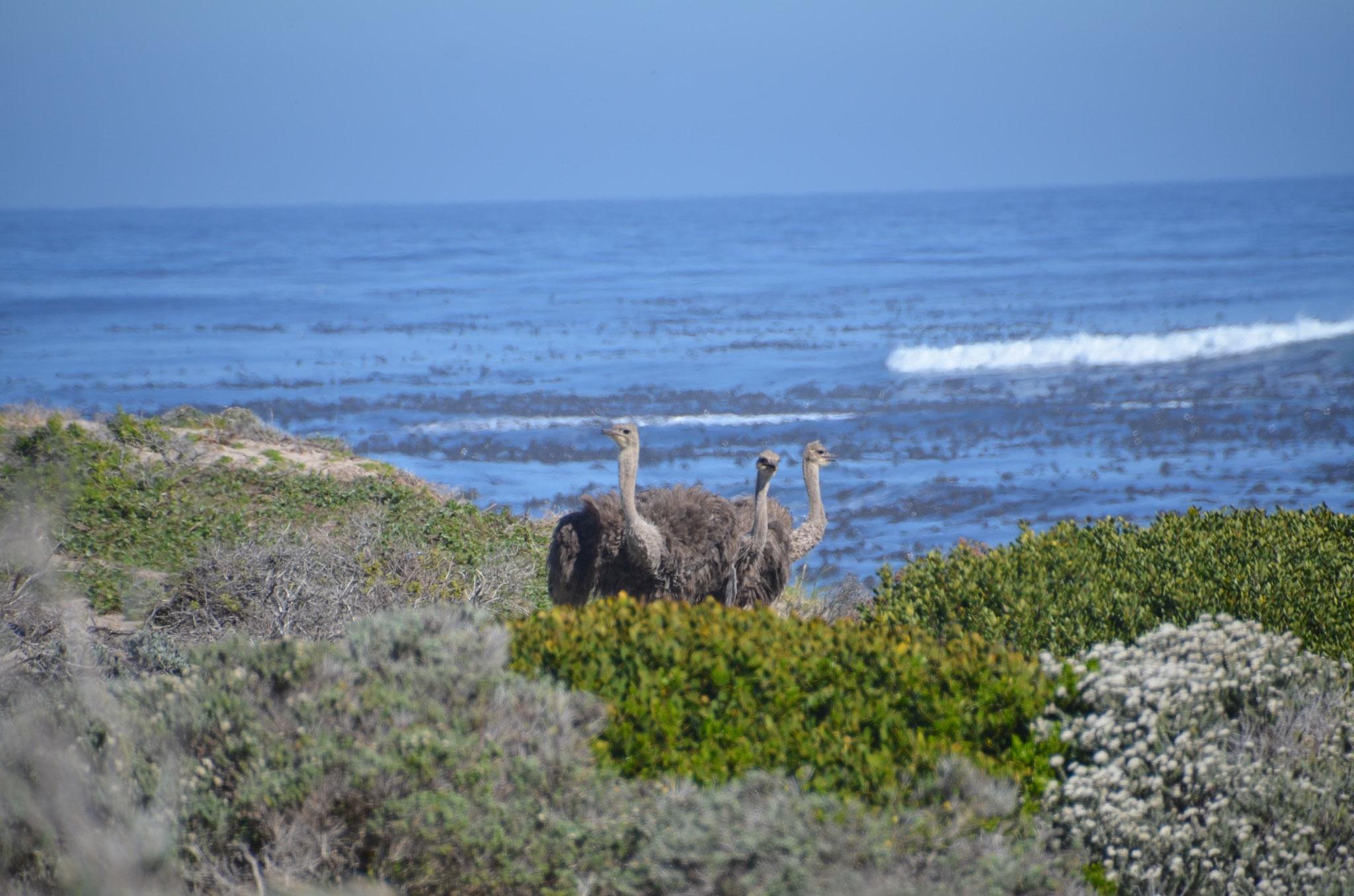 Ostrich direkt am Kap der Guten Hoffnung