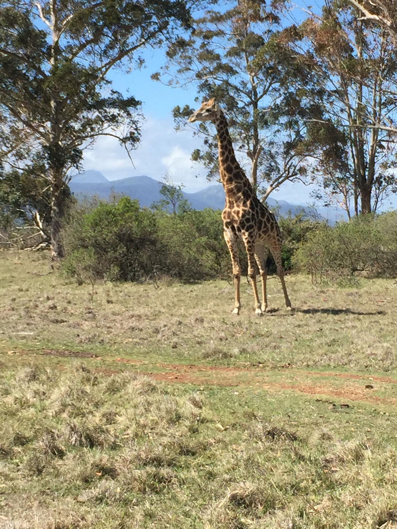 Giraffe im Plettenberg Bay Game Reserve