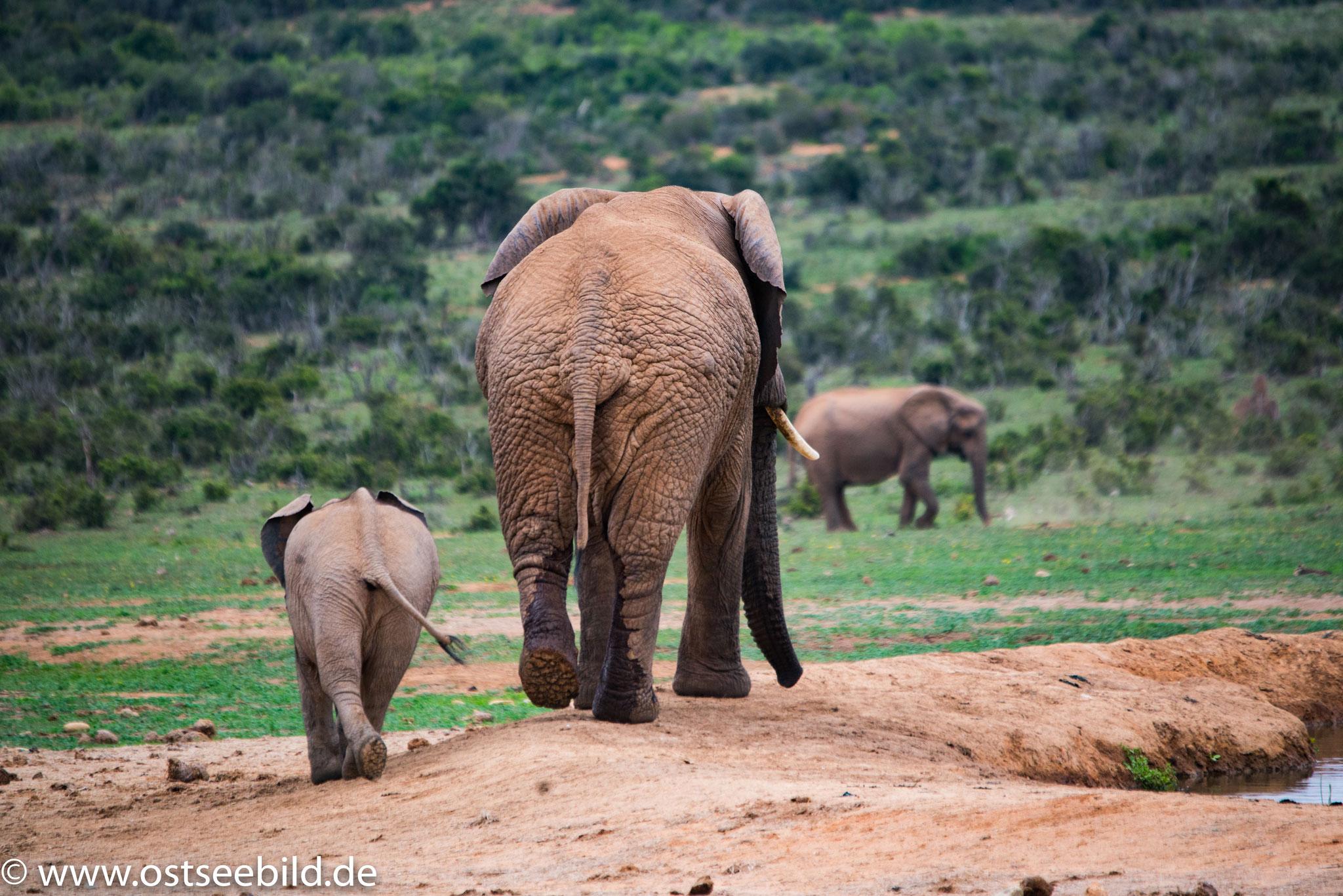 Elefanten im Addo Elephant NP