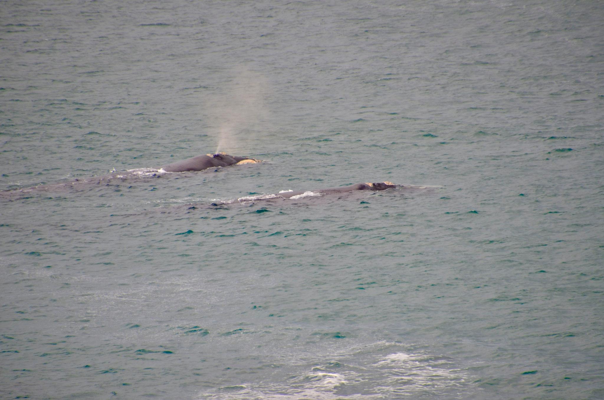 Southern Right Whale, in Hermanus vom Strand aus gut zu beobachten