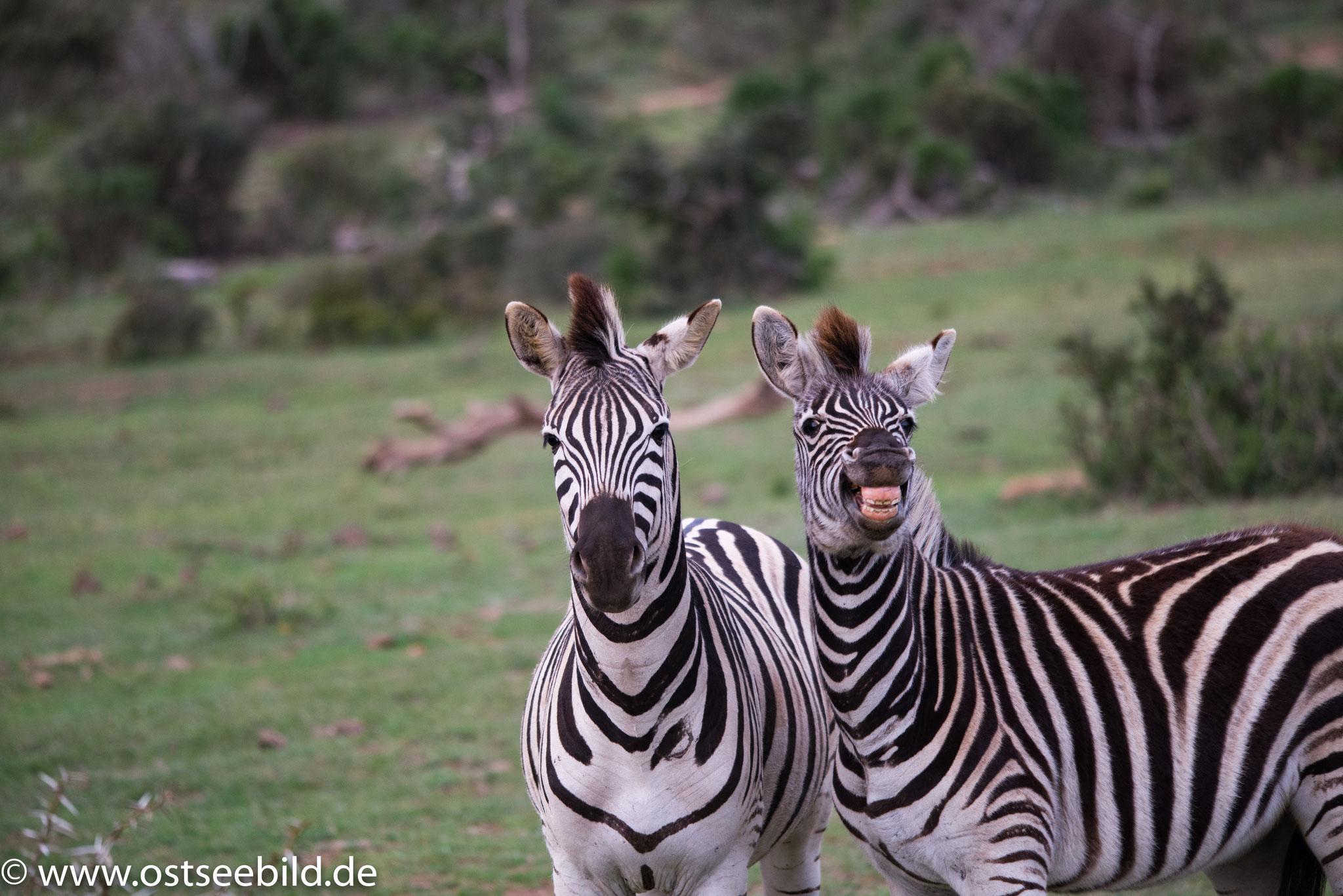 Zebra im Addo Elephant NP