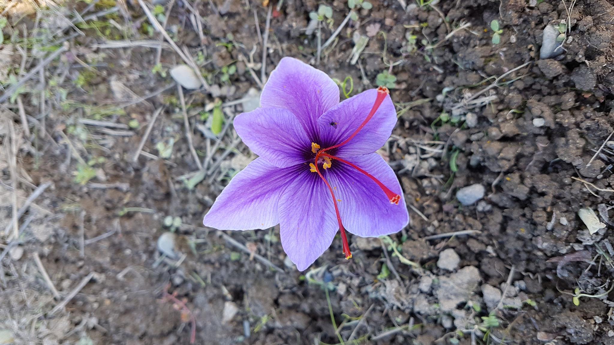 Un peu de patience, beaucoup d'Amour...le bulbe devrait laisser apparaître une fleur de safran dès cet automne